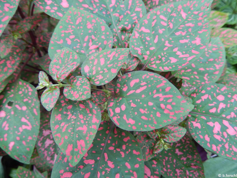 A Hypoestes phyllostachia (Acanthaceae) leveleit mintha rózsaszín festékbe mártott ecsettel fröcskölték volna le