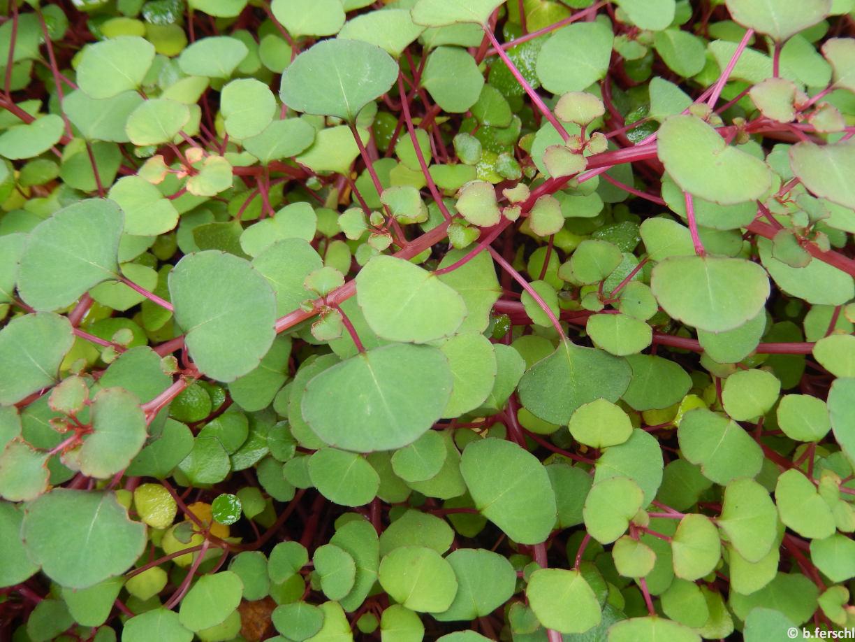 Az Impatiens repens (Balsaminaceae) törékeny, heverő hajtásai
