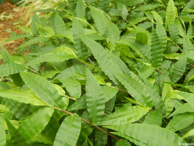 Az Oplismenus hirtellus (Graminea) leveleit mintha kreppelték volna
