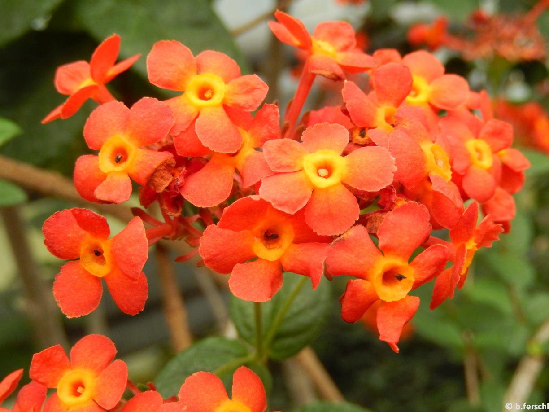 A Rondeletia odorata (Rubiaceae) élénk narancsszín virágai a nevéhez méltóan illatosak