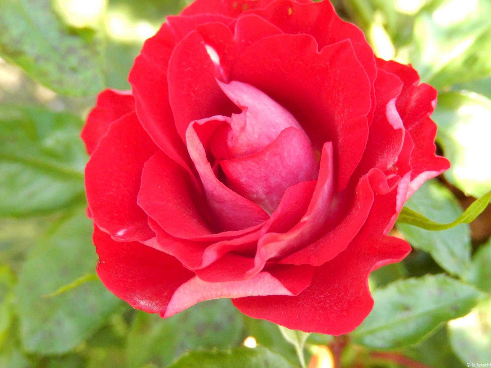 Kőrösmező floribunda rózsa