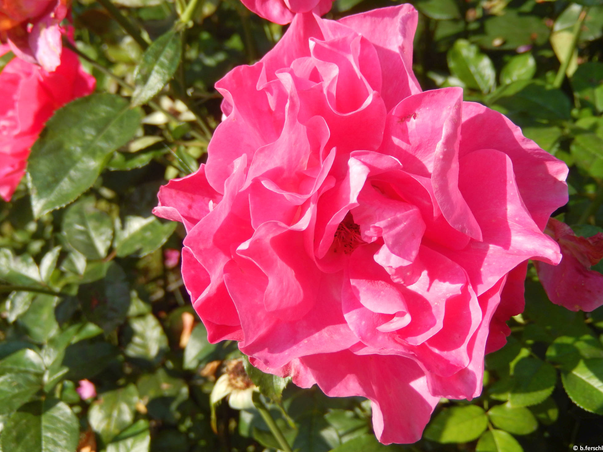 Lorántffy Zsuzsanna emléke floribunda rózsa
