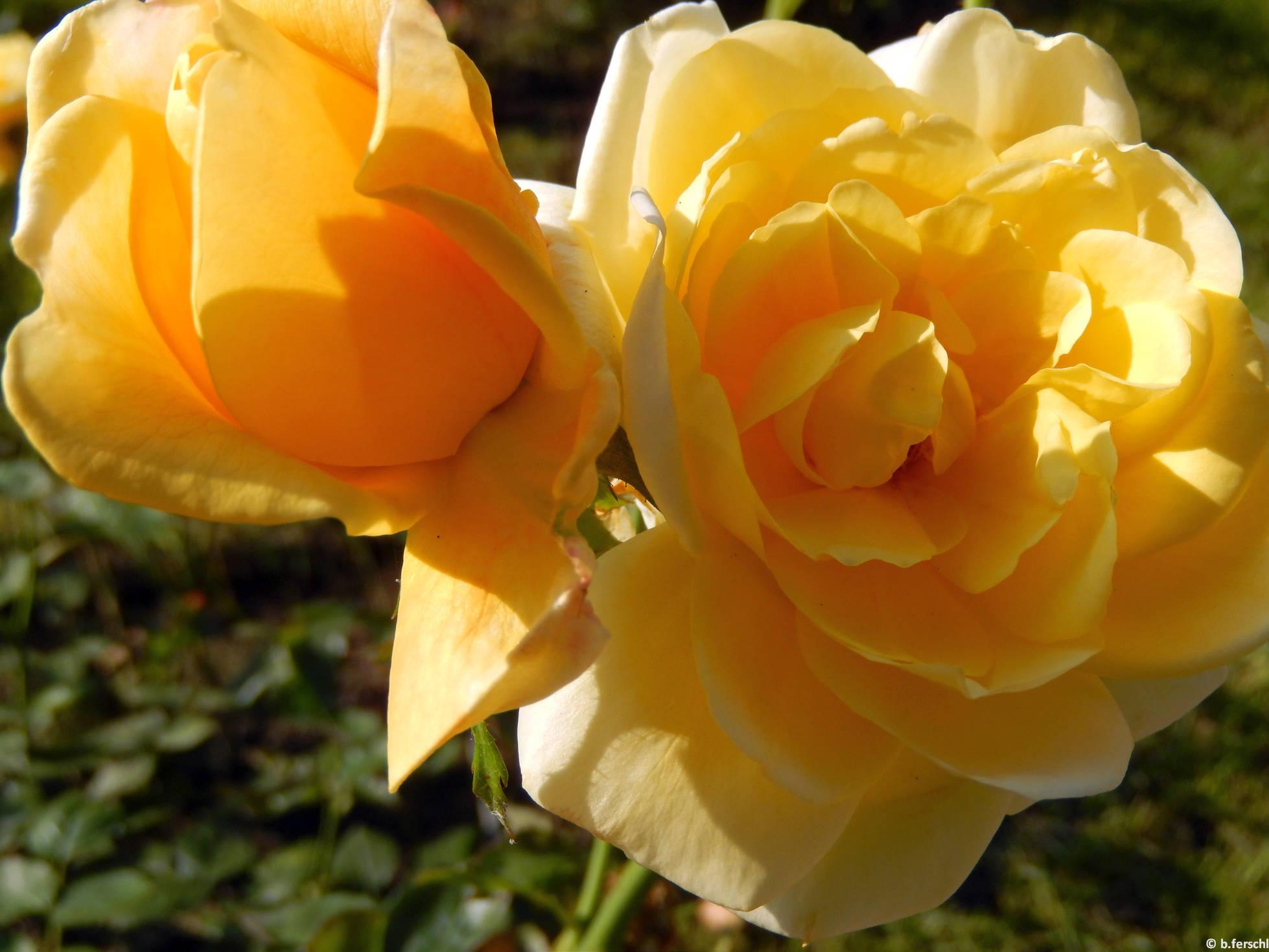Panka floribunda rózsa
