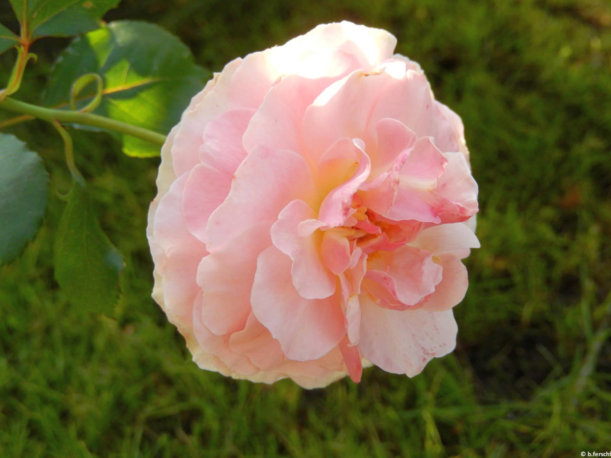 Trianon floribunda rózsa