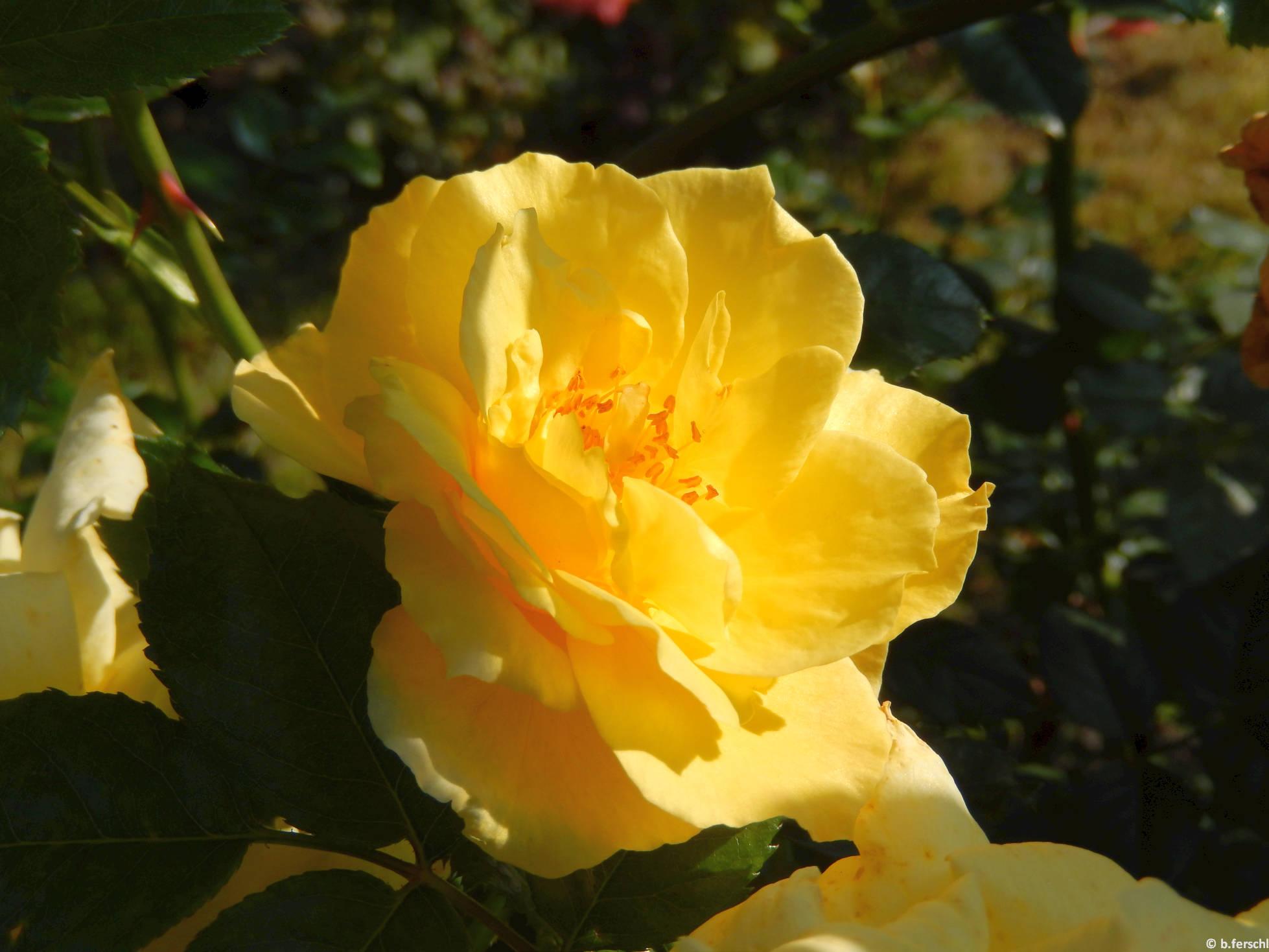 Wilma Holder floribunda rózsa