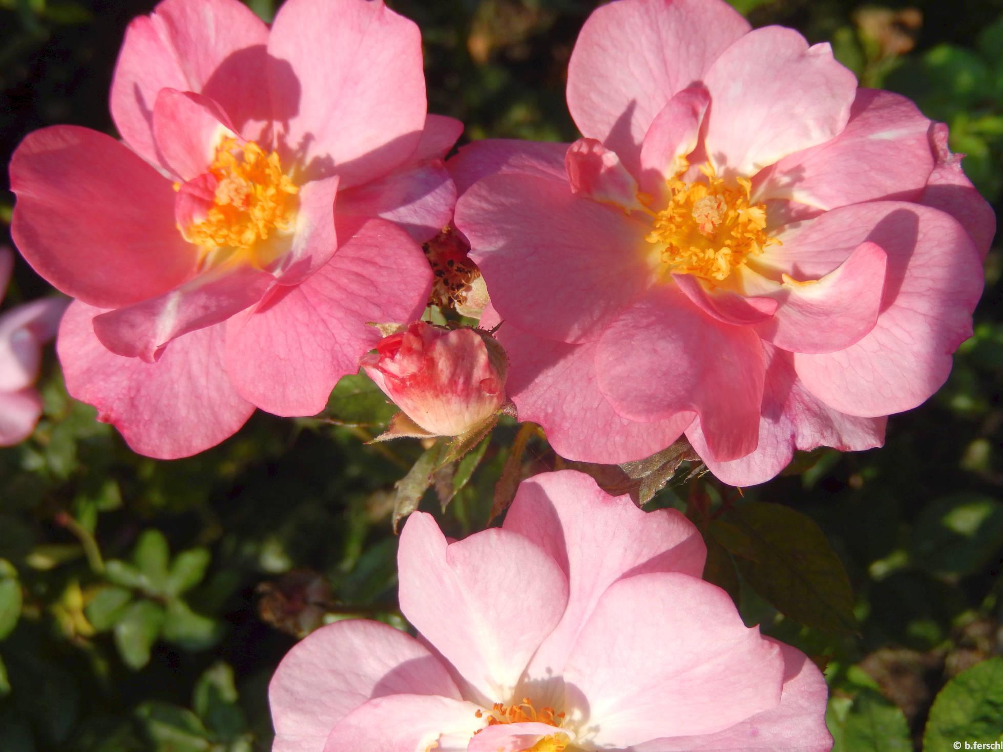 Fiume polyantha rózsa