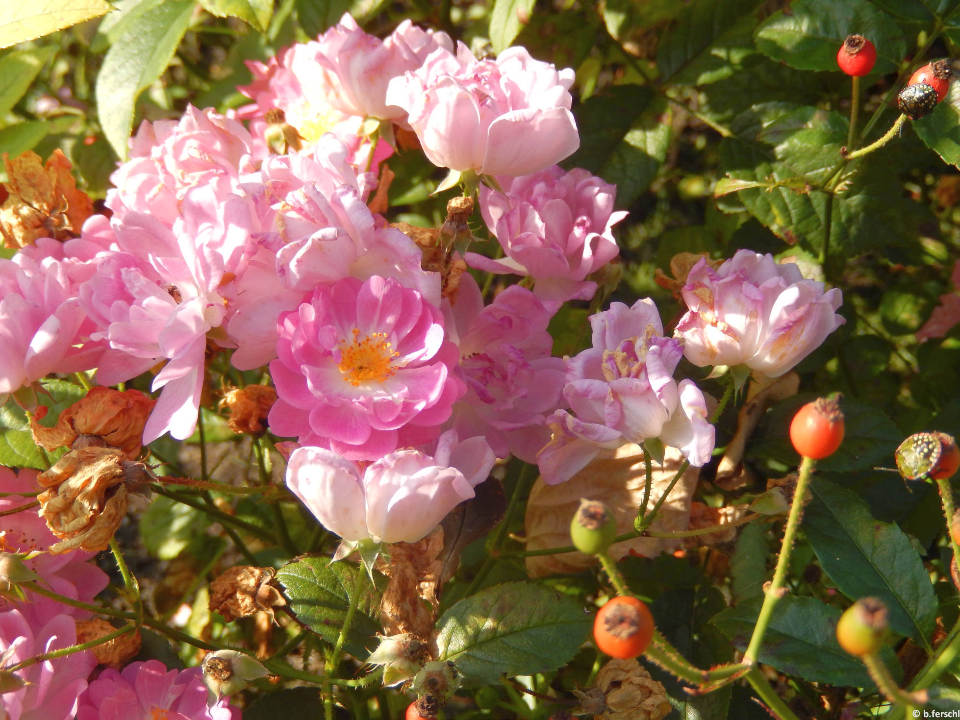 Hadikfalva polyantha rózsa