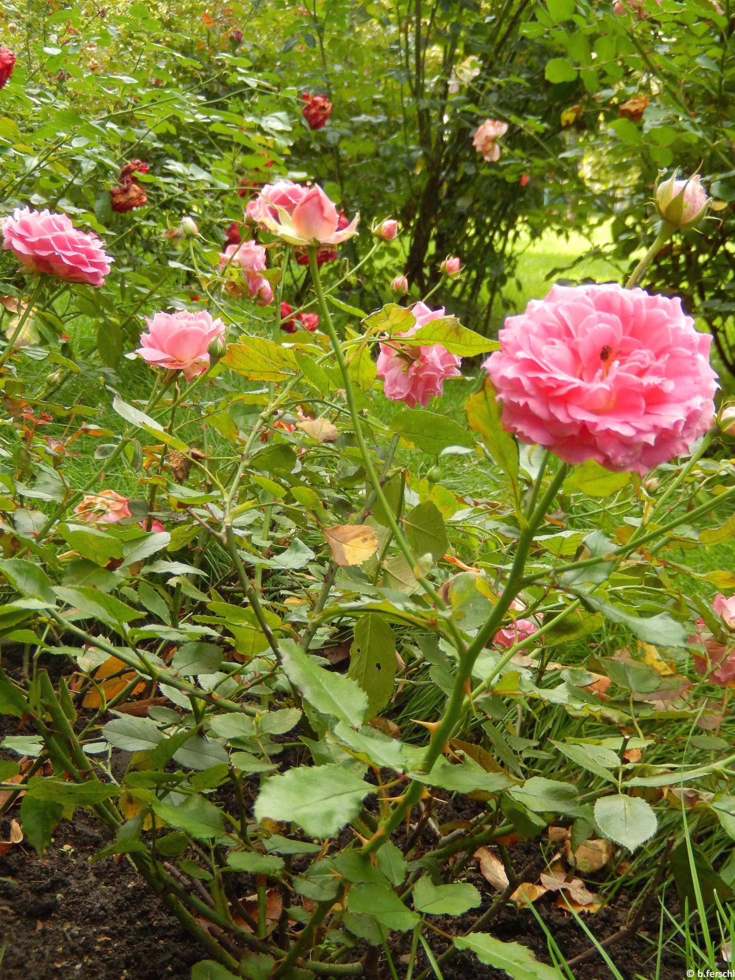 Szendrey Júlia emléke polyantha rózsa