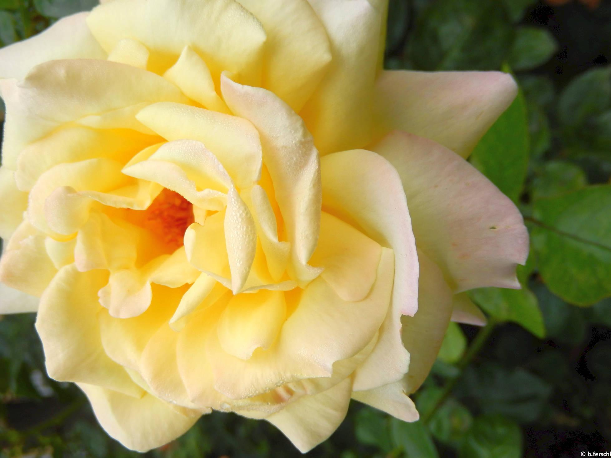 Bethlen Kata emléke teahibrid rózsa