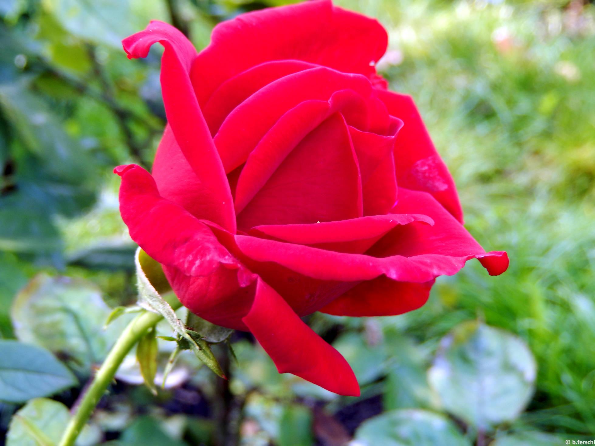 Nagy Imre emléke teahibrid rózsa