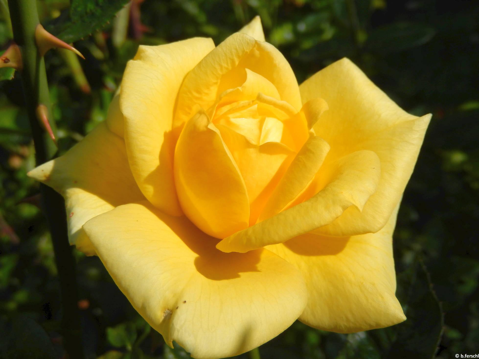 Ruttkai Éva emléke teahibrid rózsa