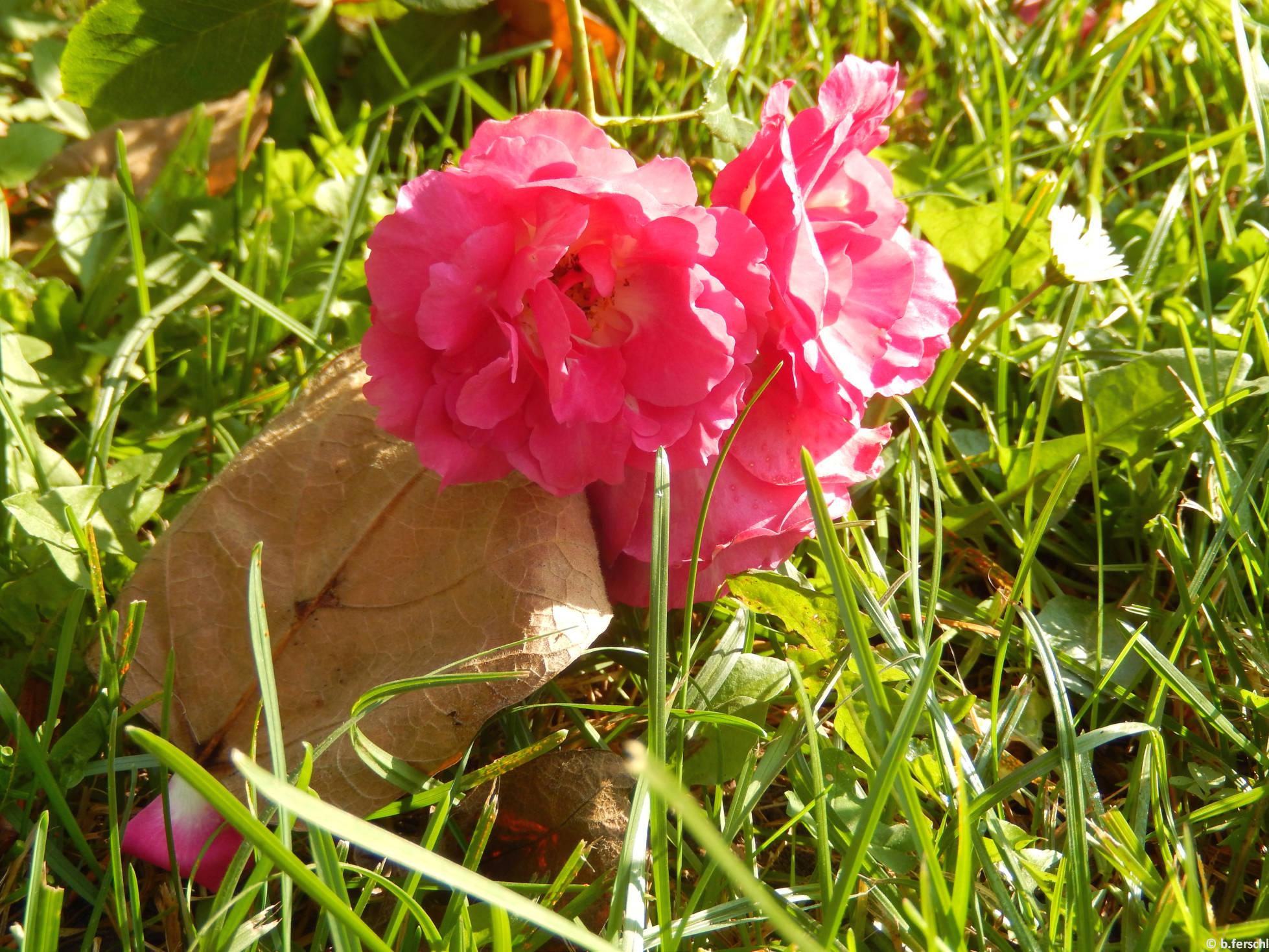 Árpádházi Szent Piroska floribunda rózsa