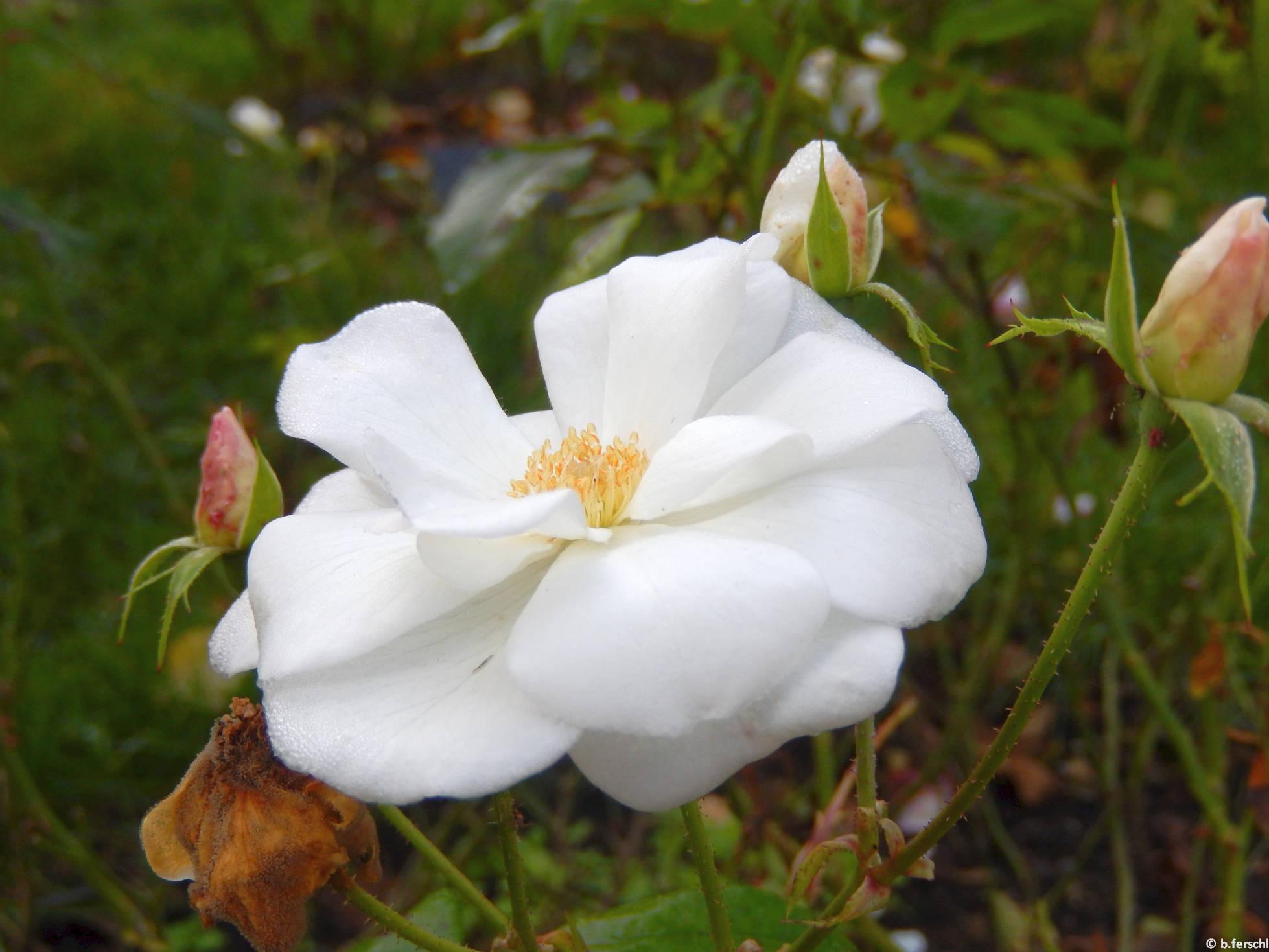Bem apó emléke floribunda rózsa