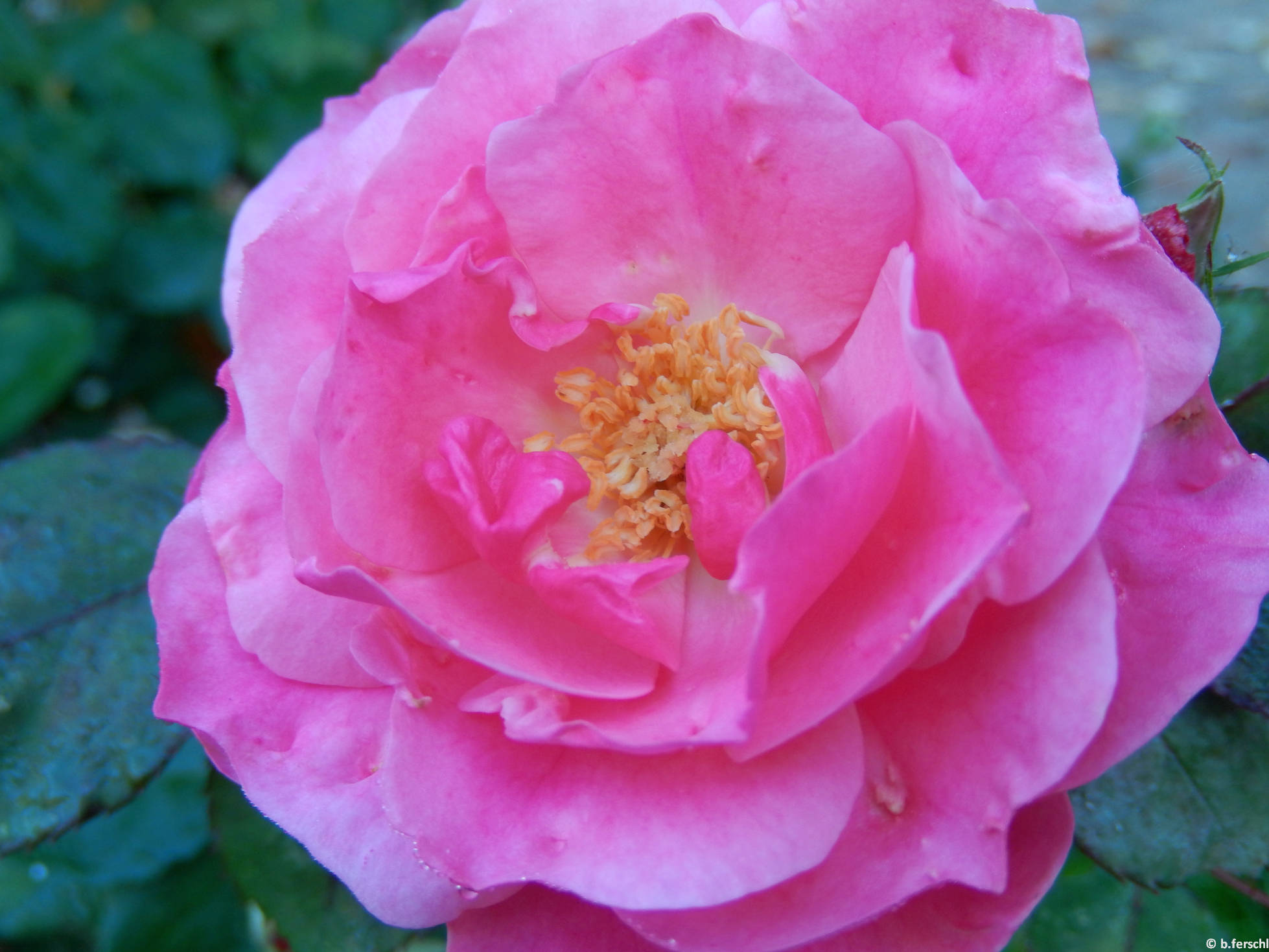 Bethlen Gábor emléke floribunda rózsa