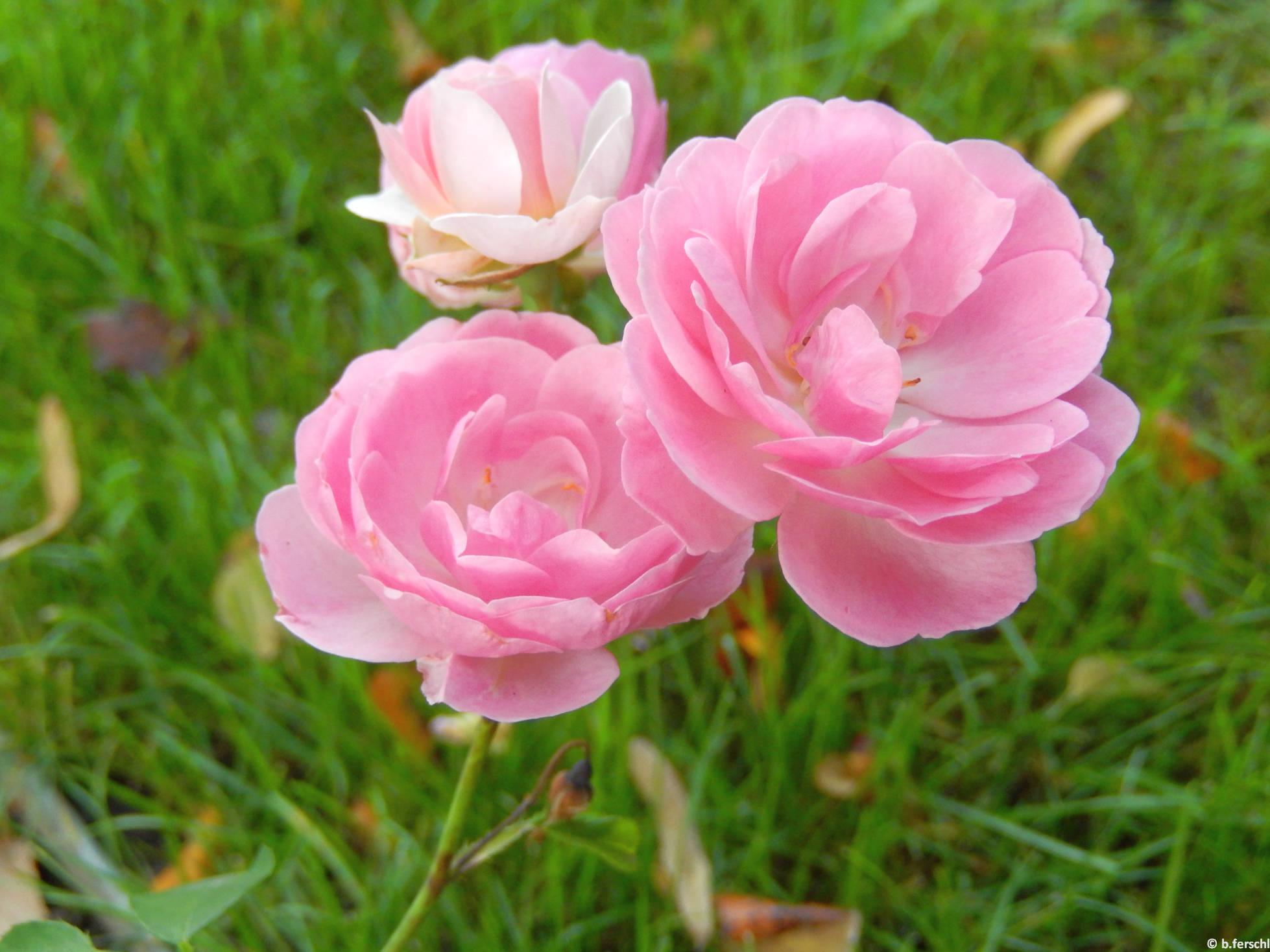 Hajdú floribunda rózsa