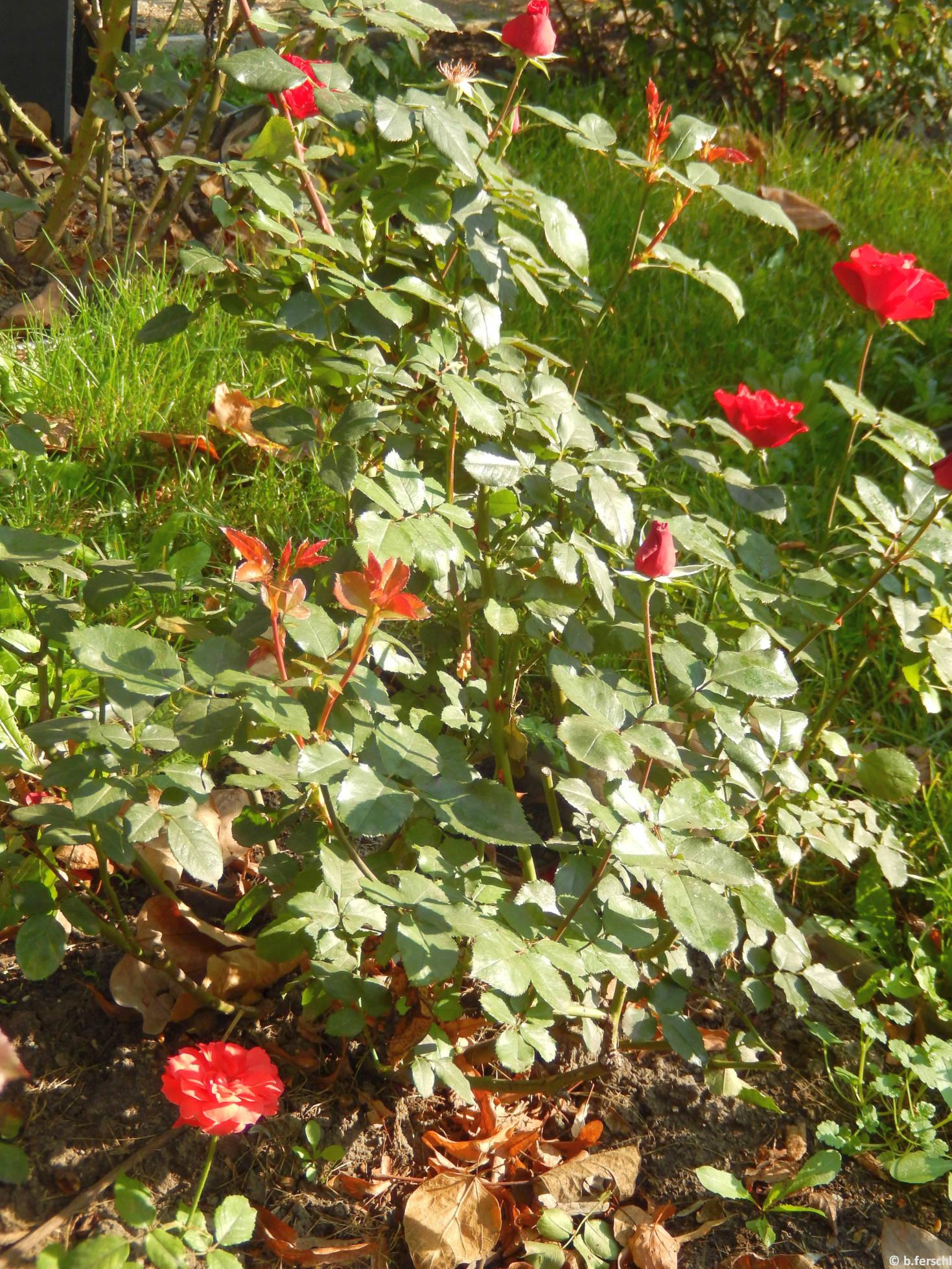 Léda emléke floribunda rózsa