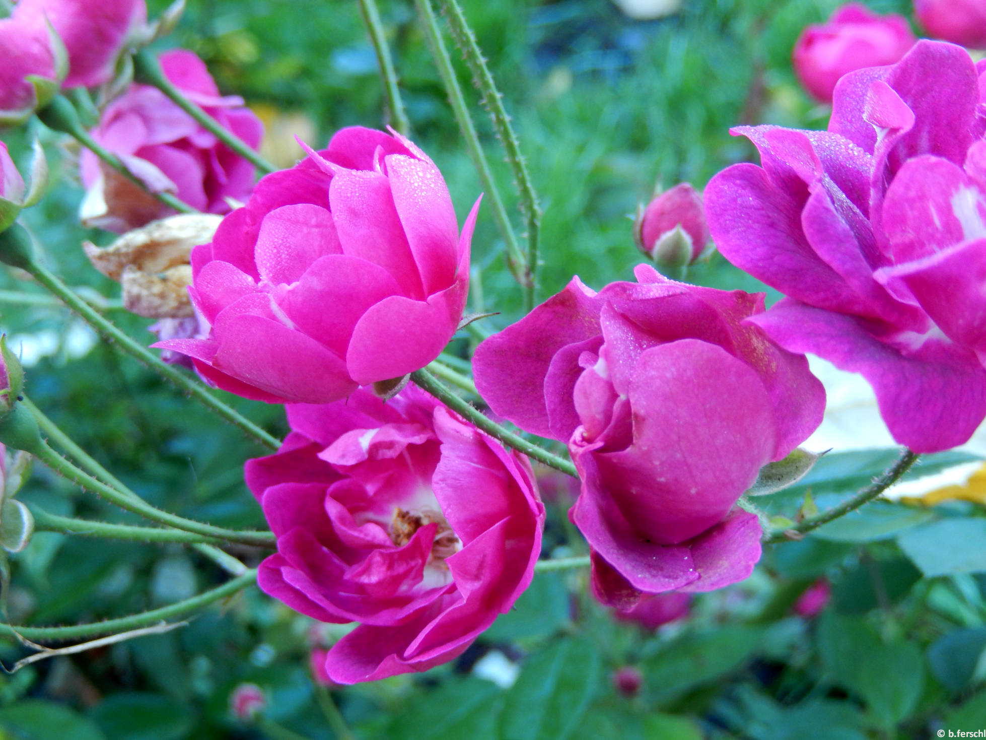 Dayka Margit emléke polyantha rózsa