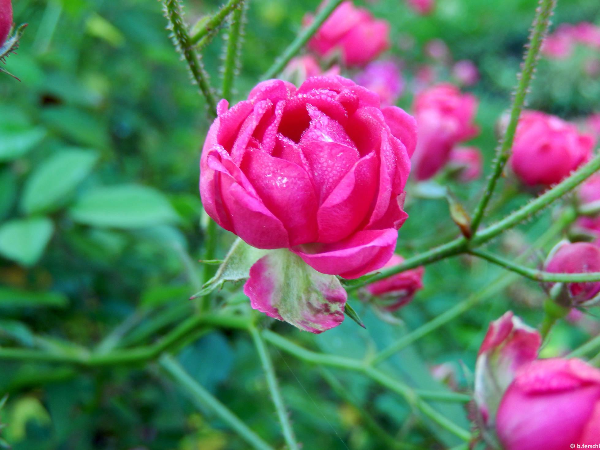 Gyöngyvér polyantha rózsa