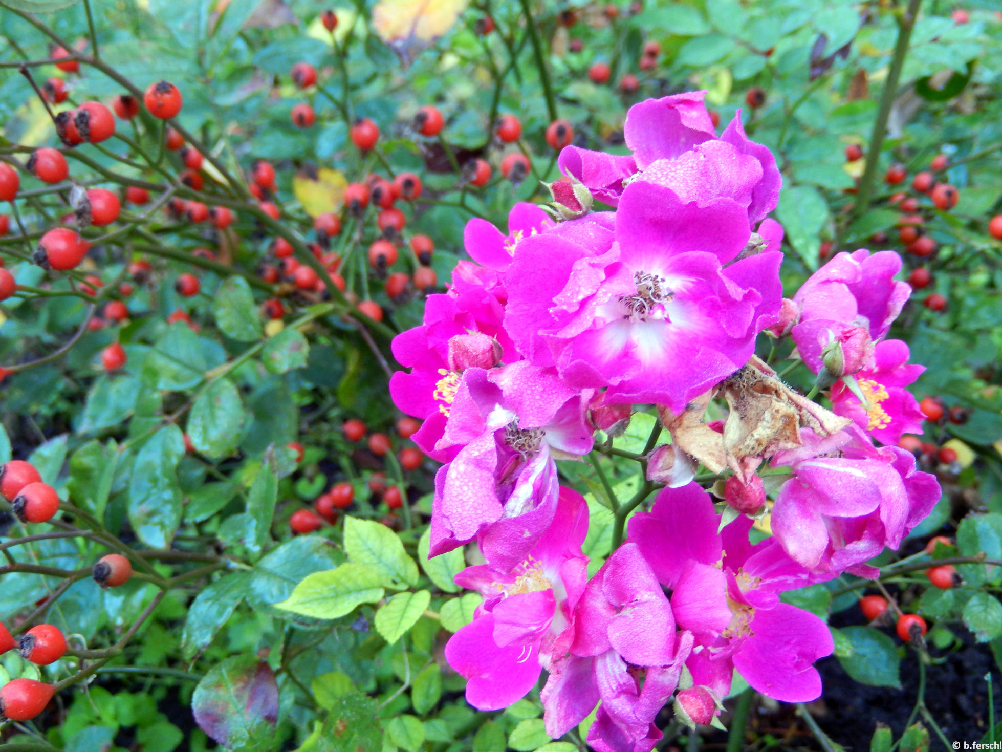 Szász Kálmán emléke polyantha rózsa