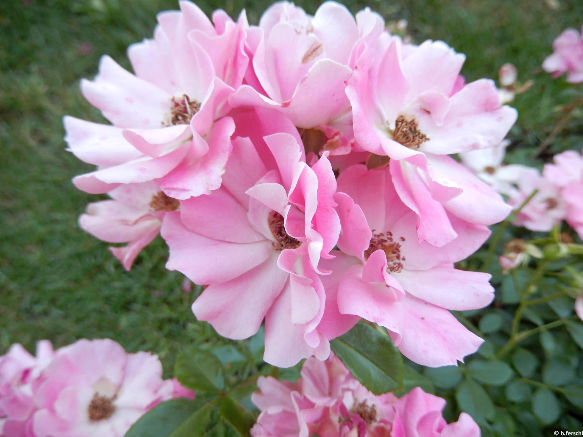 Kempelen Farkas emléke polyantha rózsa (2014. június)