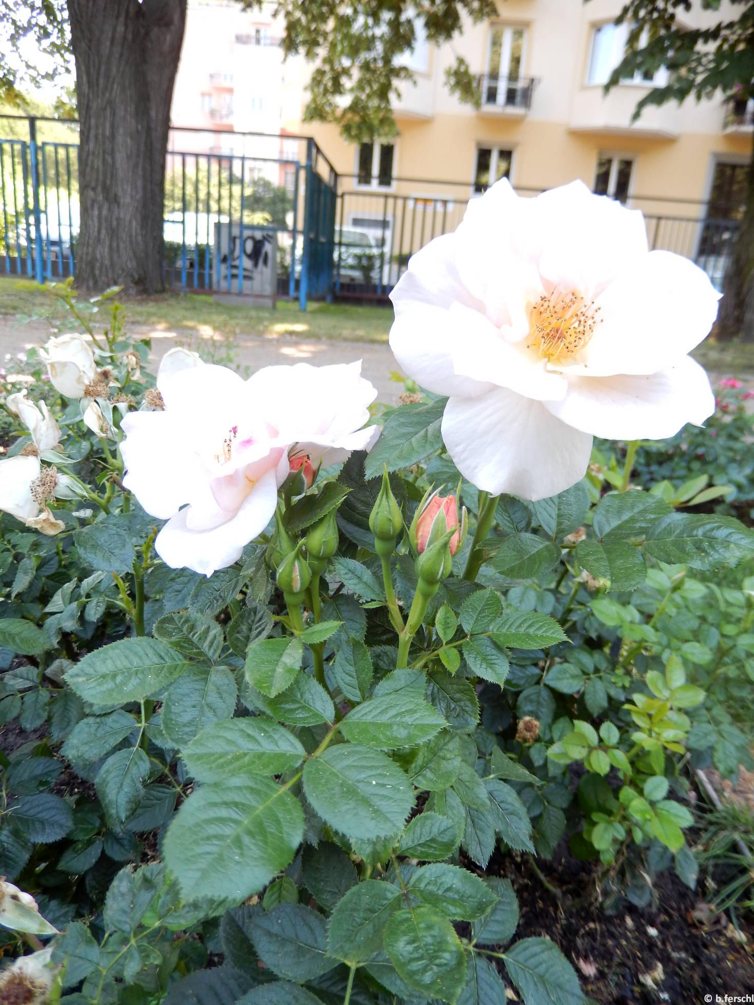 Hild József emléke floribunda rózsa (2014. június)