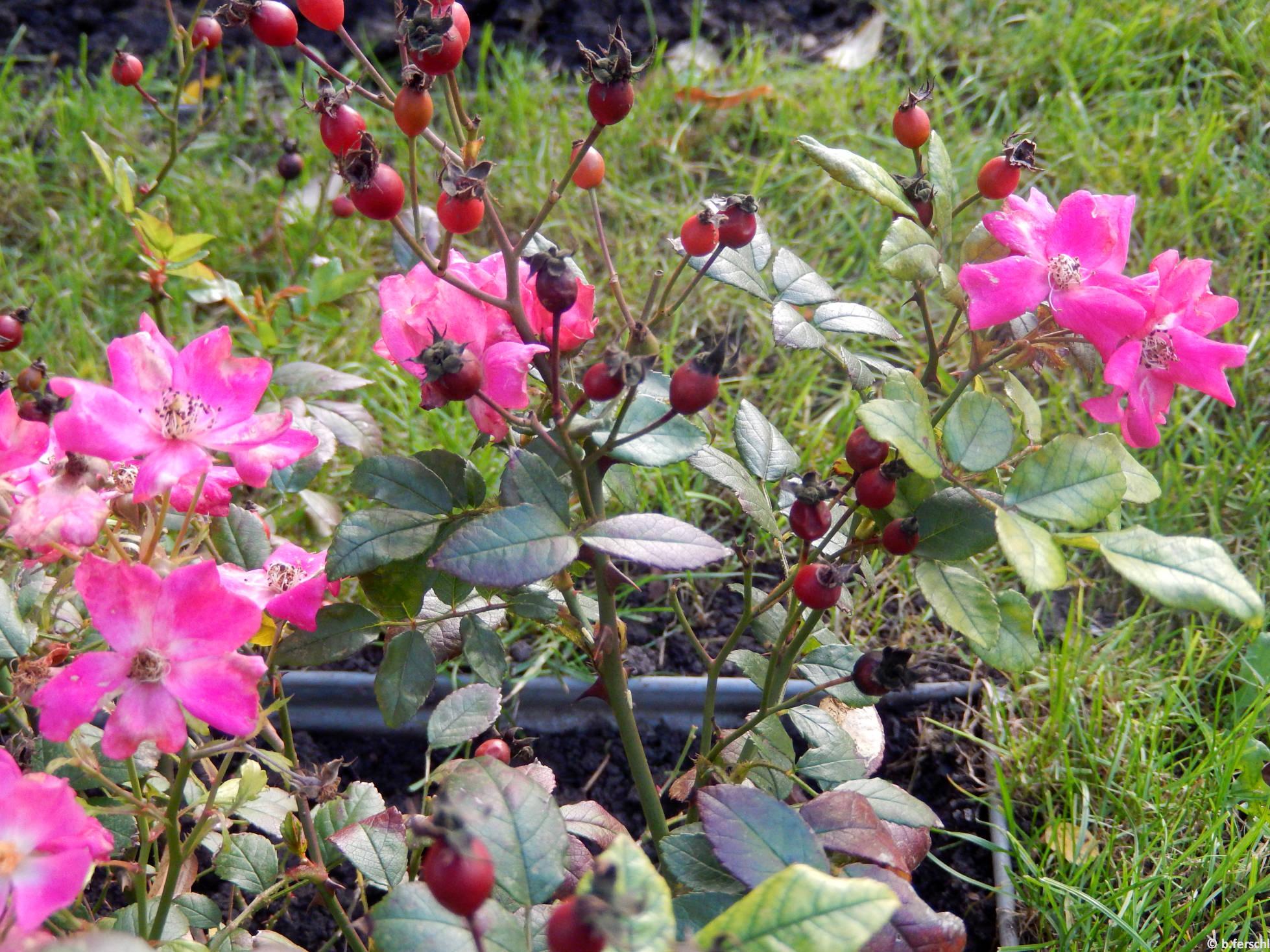Ernye polyantha rózsa