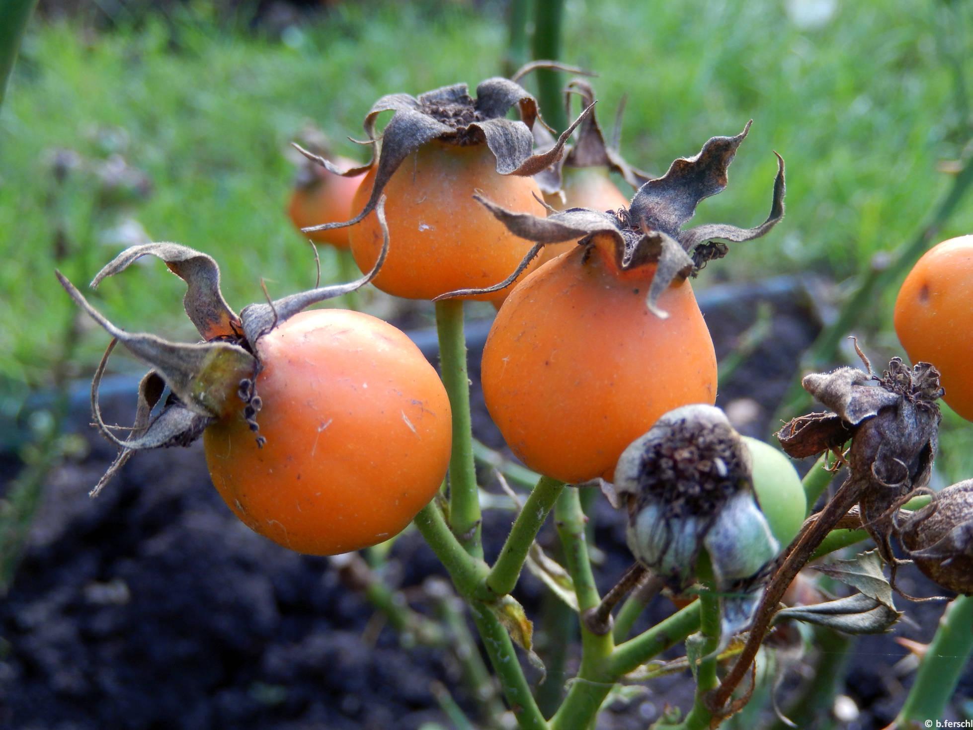 Hild József emléke floribunda rózsa