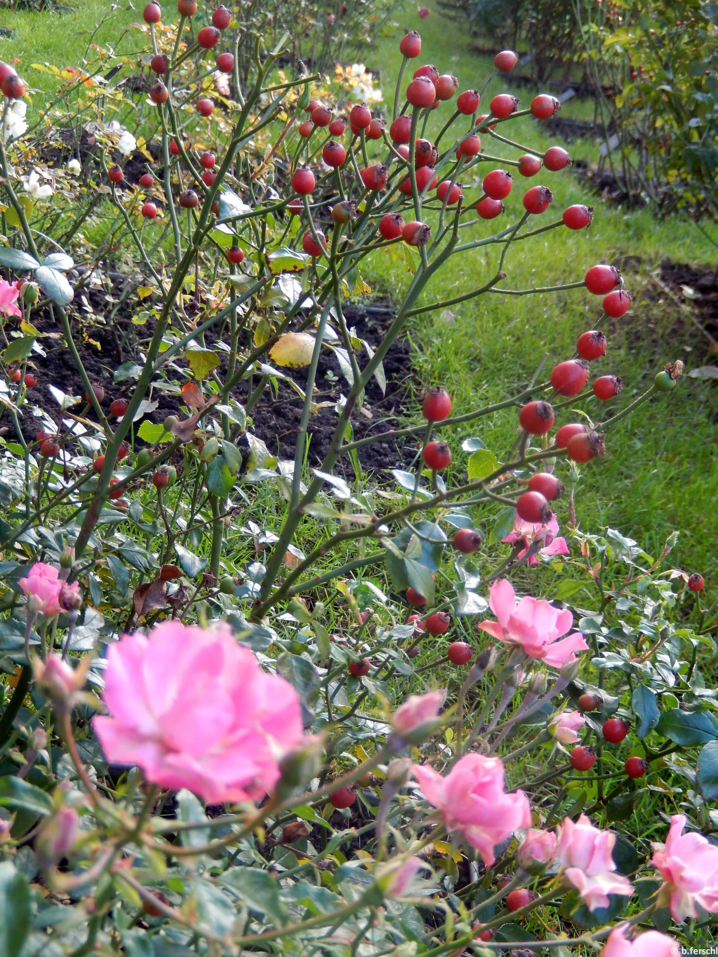 Kempelen Farkas emléke polyantha rózsa