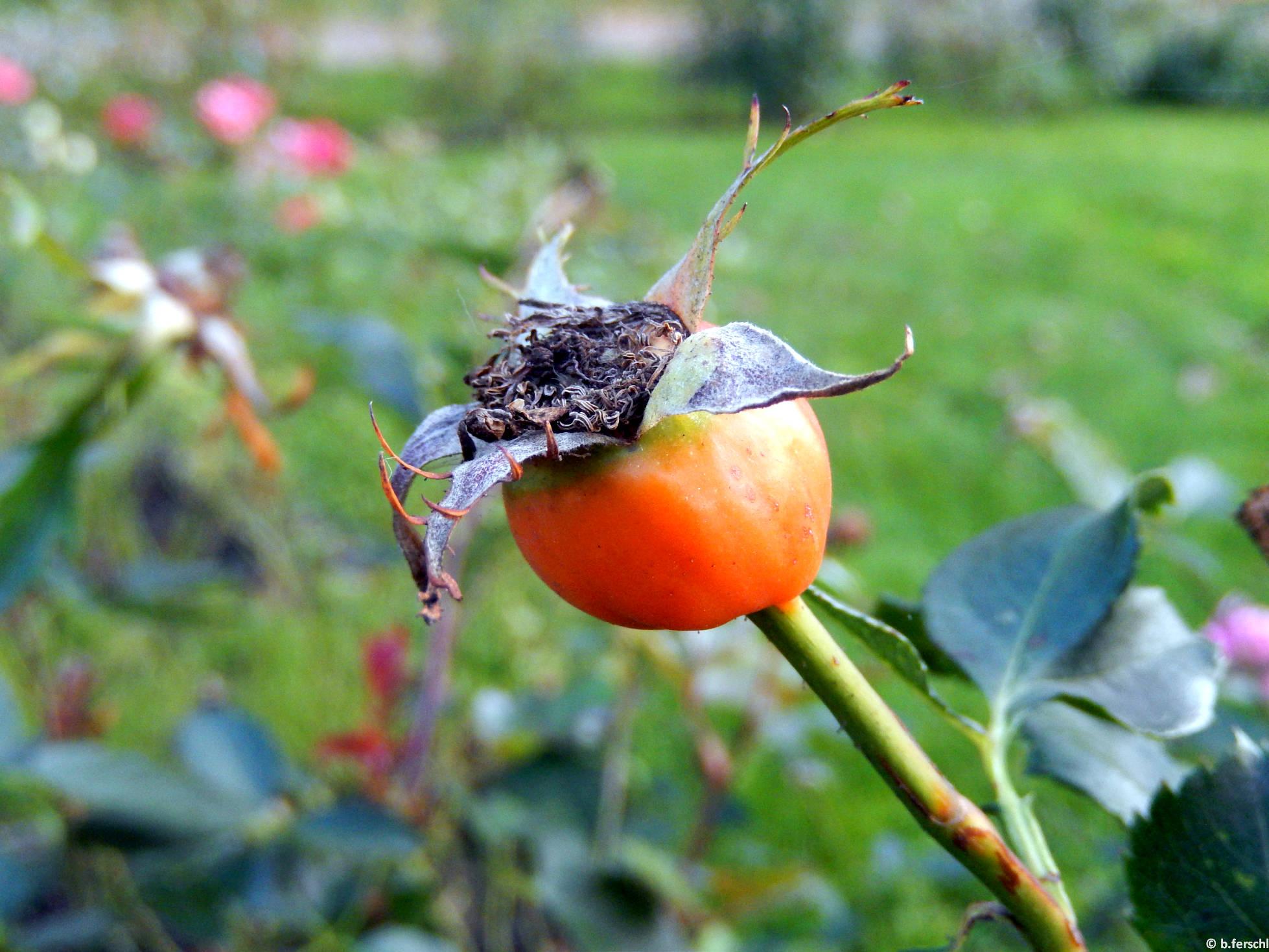 Szent Gellért emléke floribunda rózsa