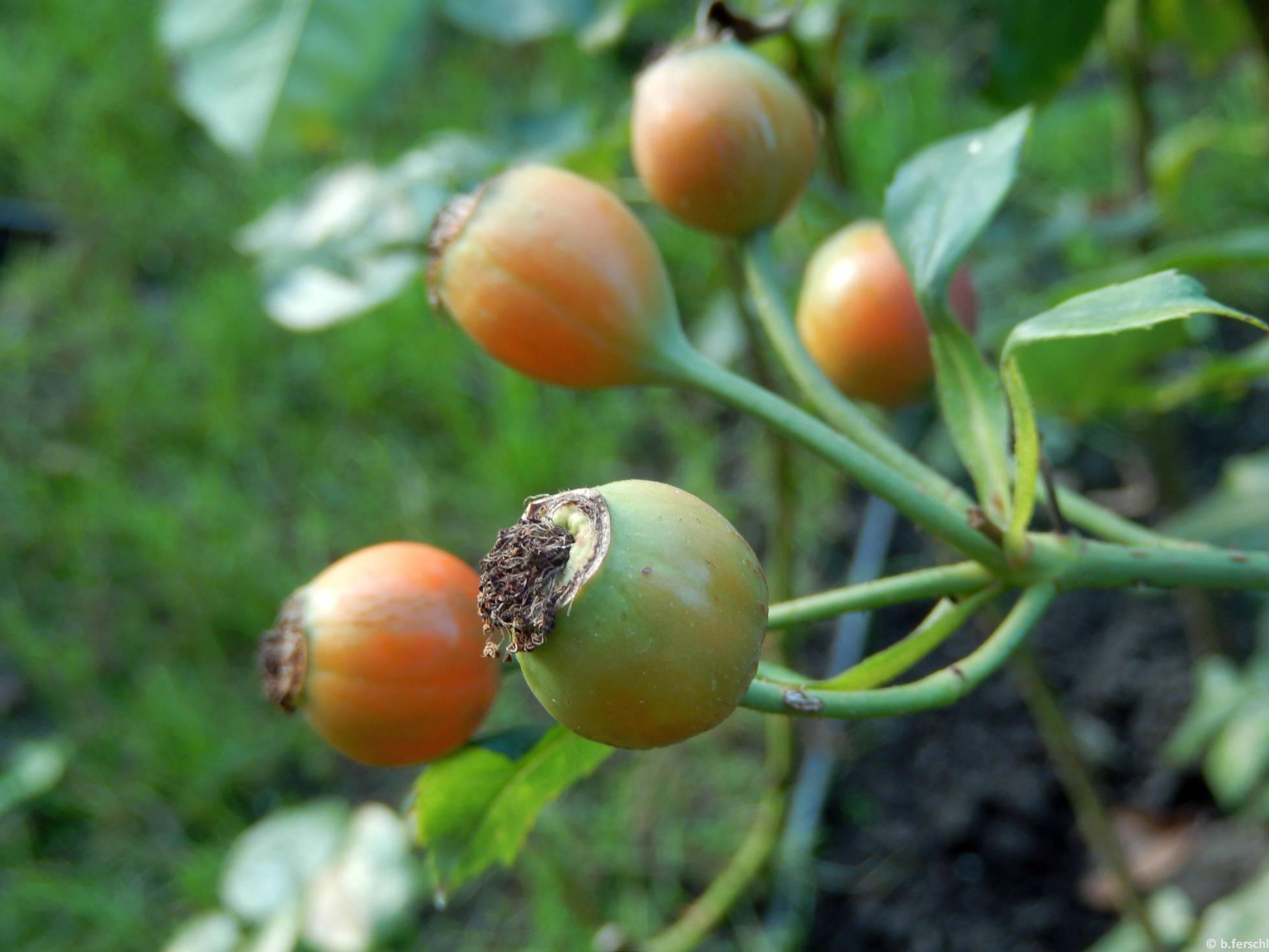 Szent László emléke floribunda rózsa