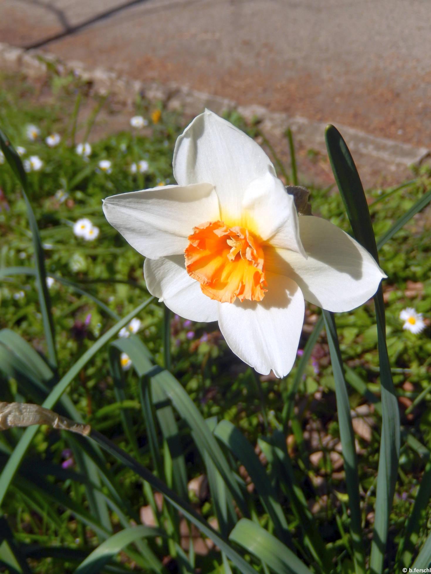 Narcissus 'Barett Browning'
