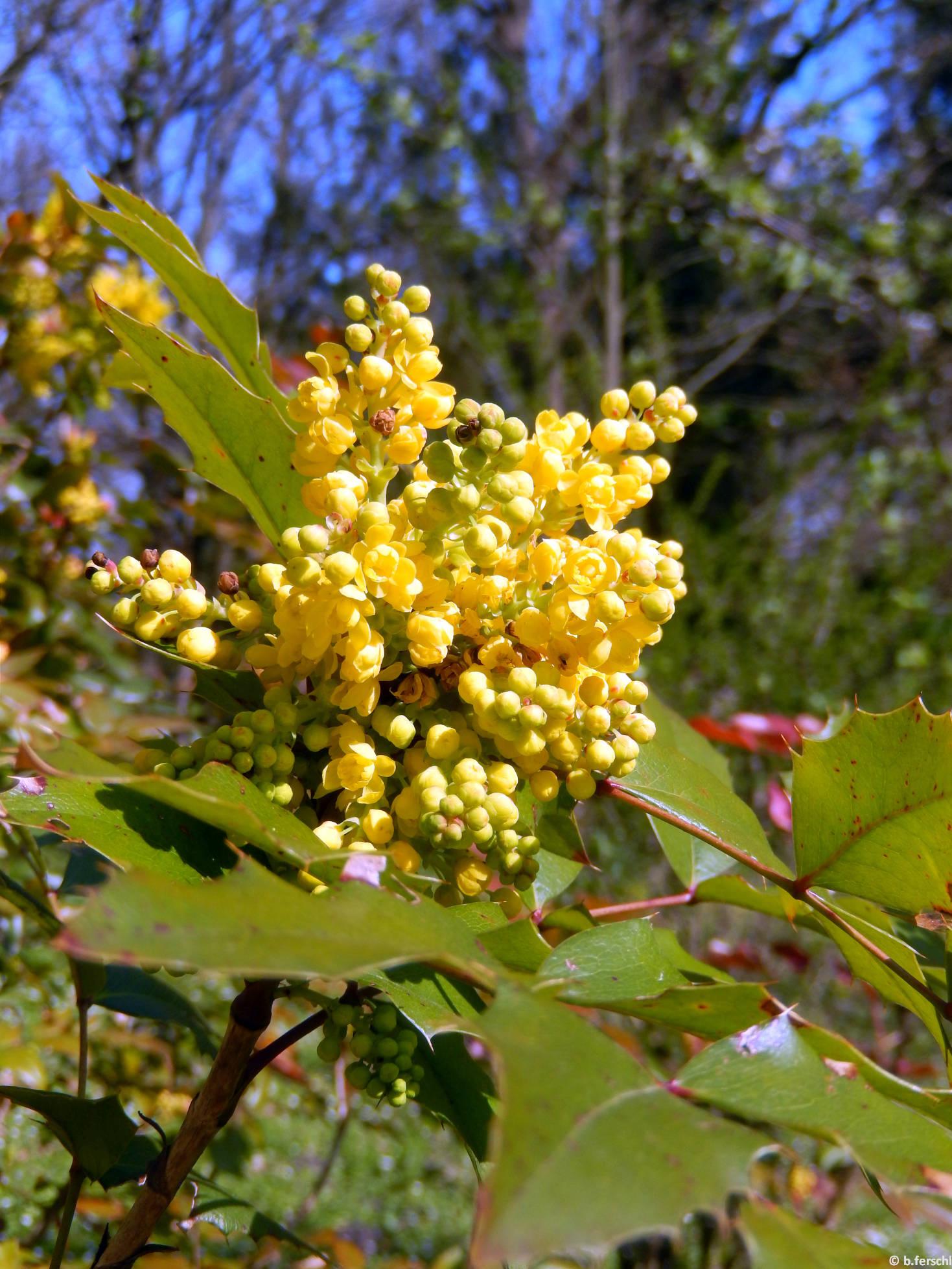 Oregoni mahónia (Mahonia nervosa)