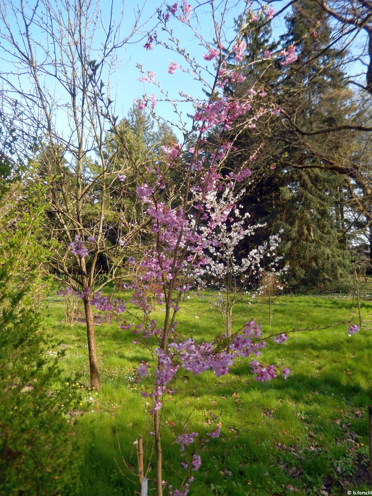 Prunus subhirtella 'Fukubana'- díszcseresznye
