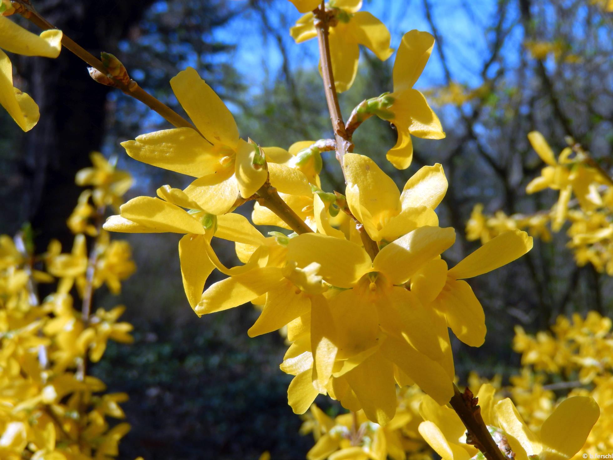Aranyvessző (Forsythia sp.)