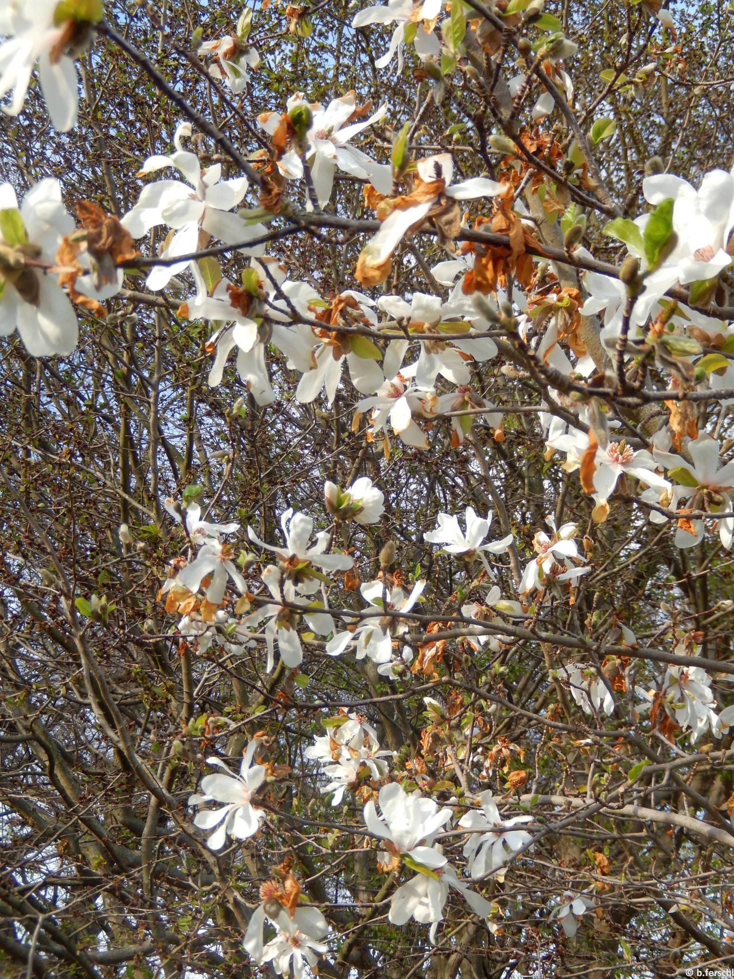 Merrill magnólia (Magnolia x loebneri 'Merrill')