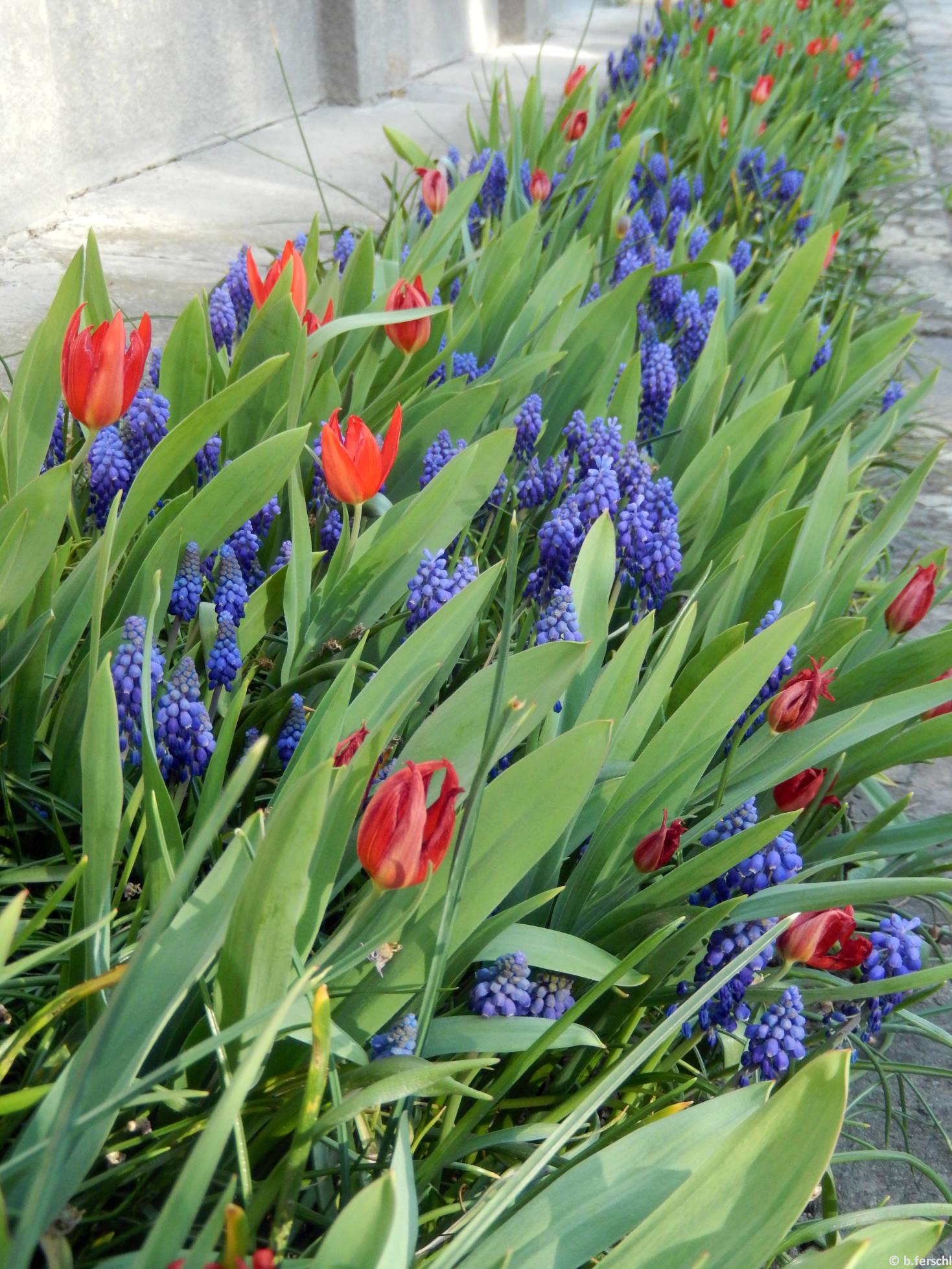 Unicum hisszári tulipán gyöngyikékkel (Tulipa praestans 'Unicum' és Muscari sp.)