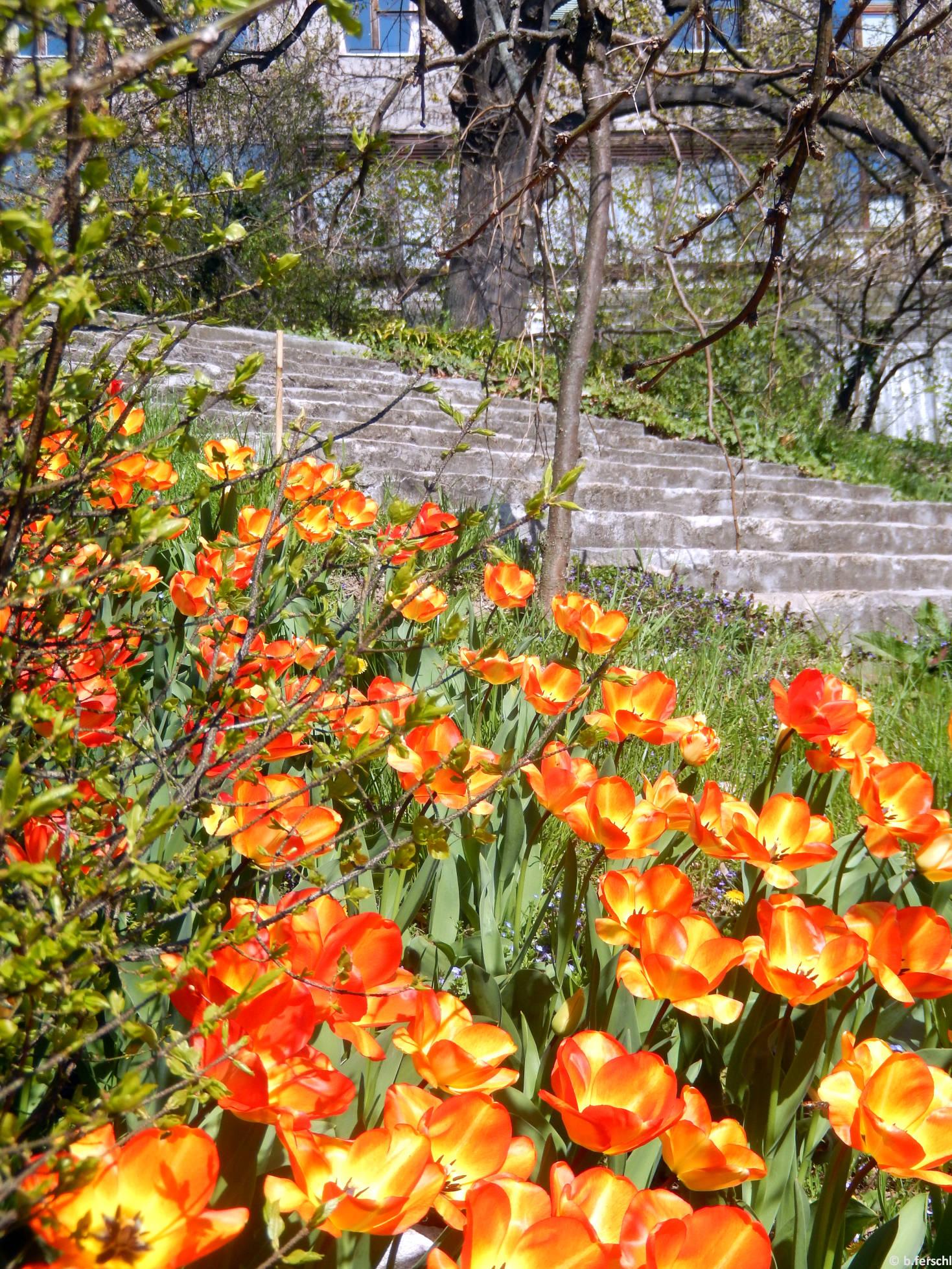 Mint a lángnyelvek...Tulipánok az évelő gyűjteménynél