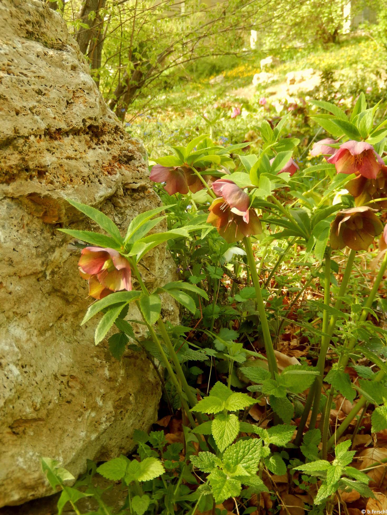 Pirosló hunyor (Helleborus purpurascens) a felső sziklakerben