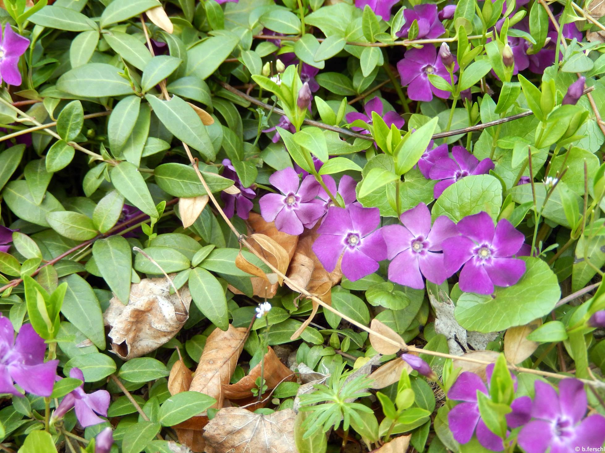 Kis meténg - lila virágú (Vinca minor) a felső sziklakertben