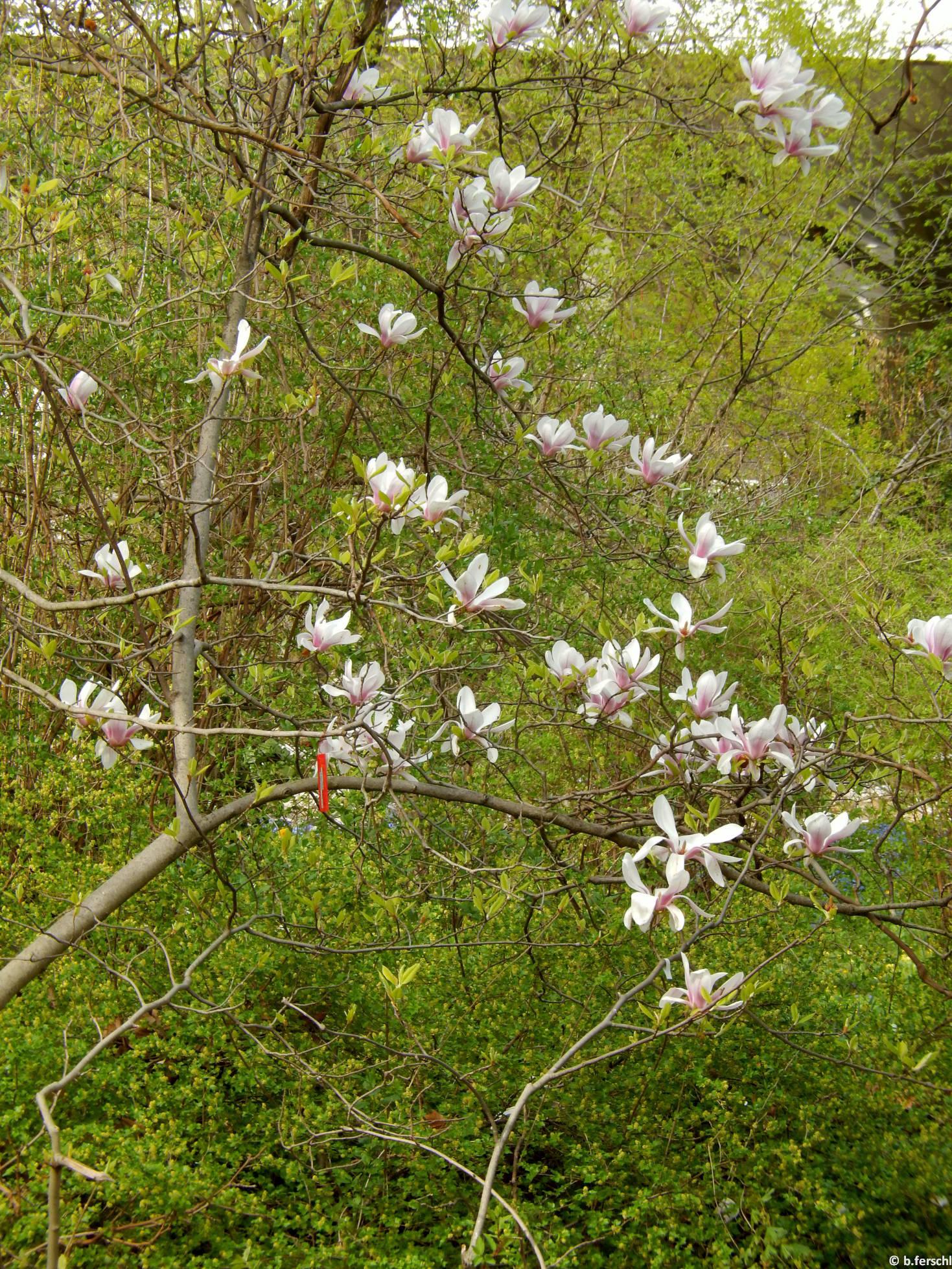 Liliomfa (Magnolia sp.)