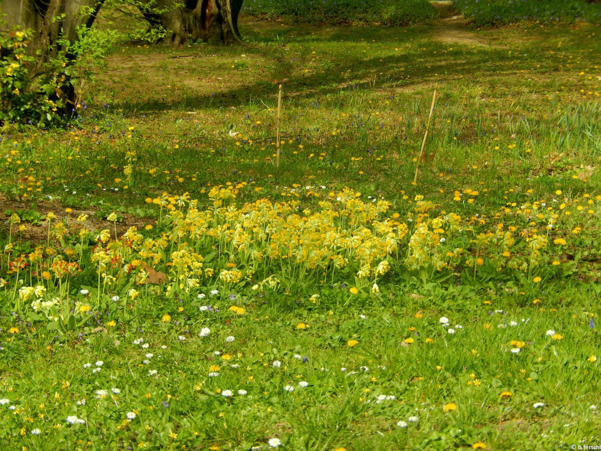 Tavaszi kankalinok csoportja a Felső Kertben