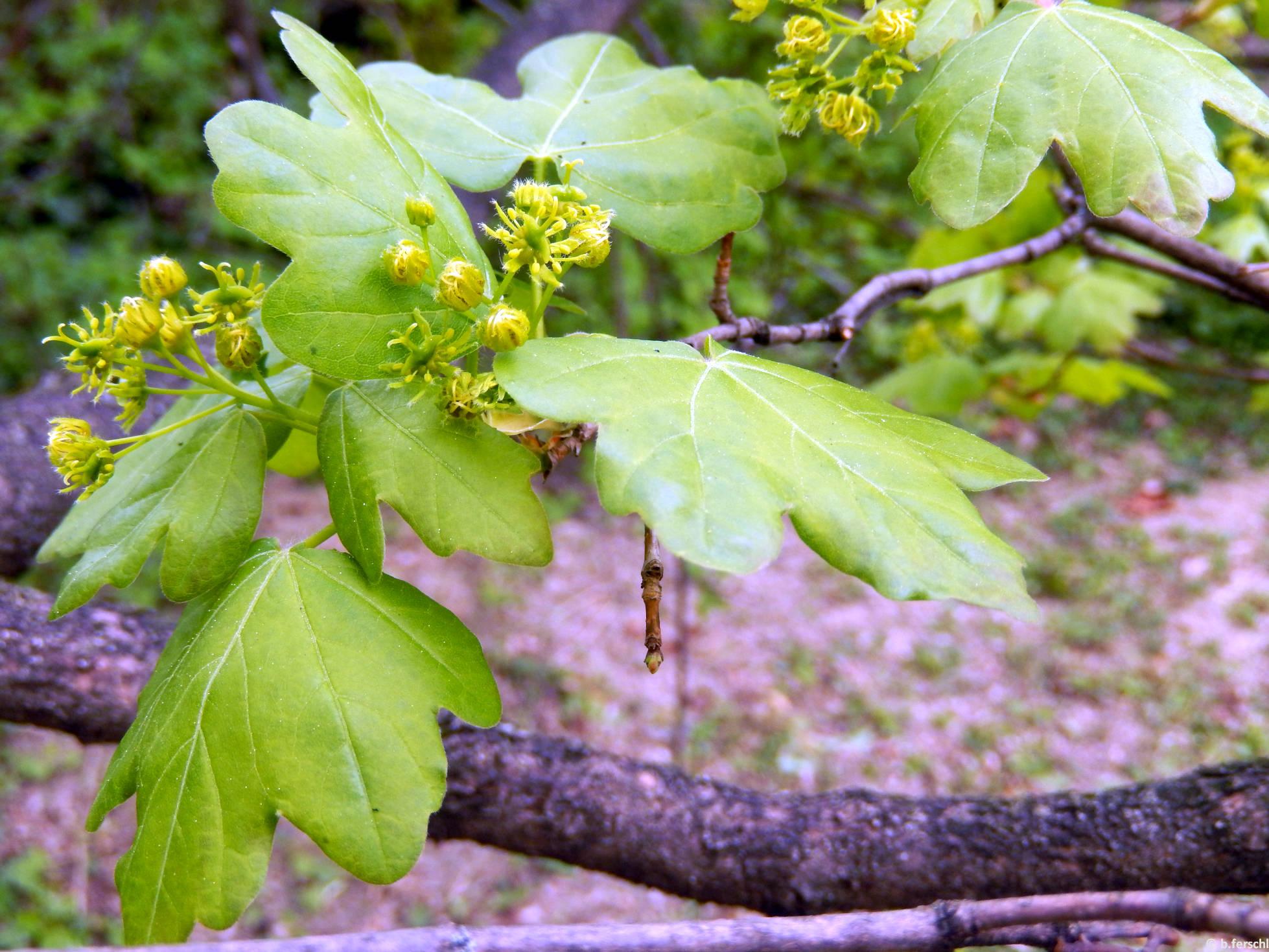 Mezei juhar (Acer campestre)
