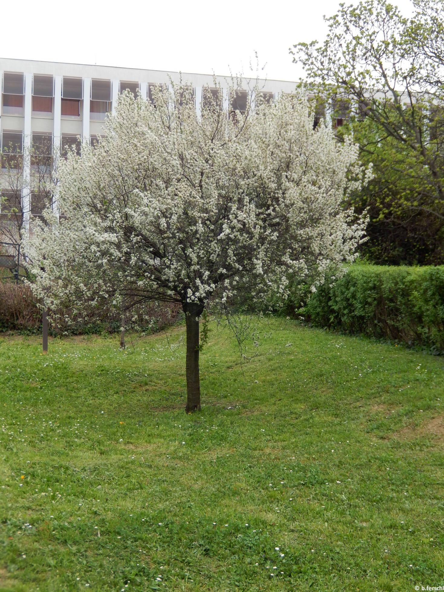 Gömb csepleszmeggy (Prunus fruticosa 'Globosa')
