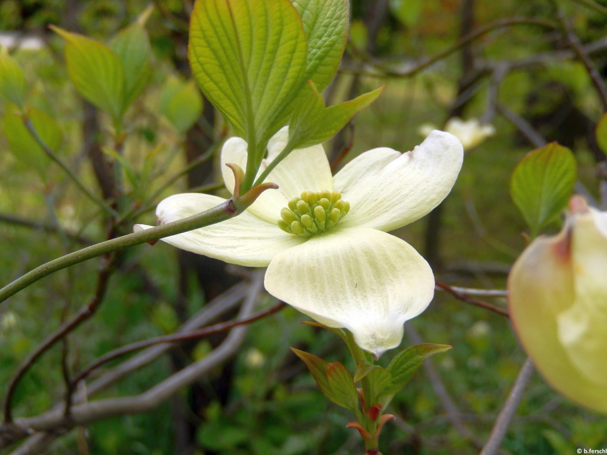 Virágos som (Cornus florida)