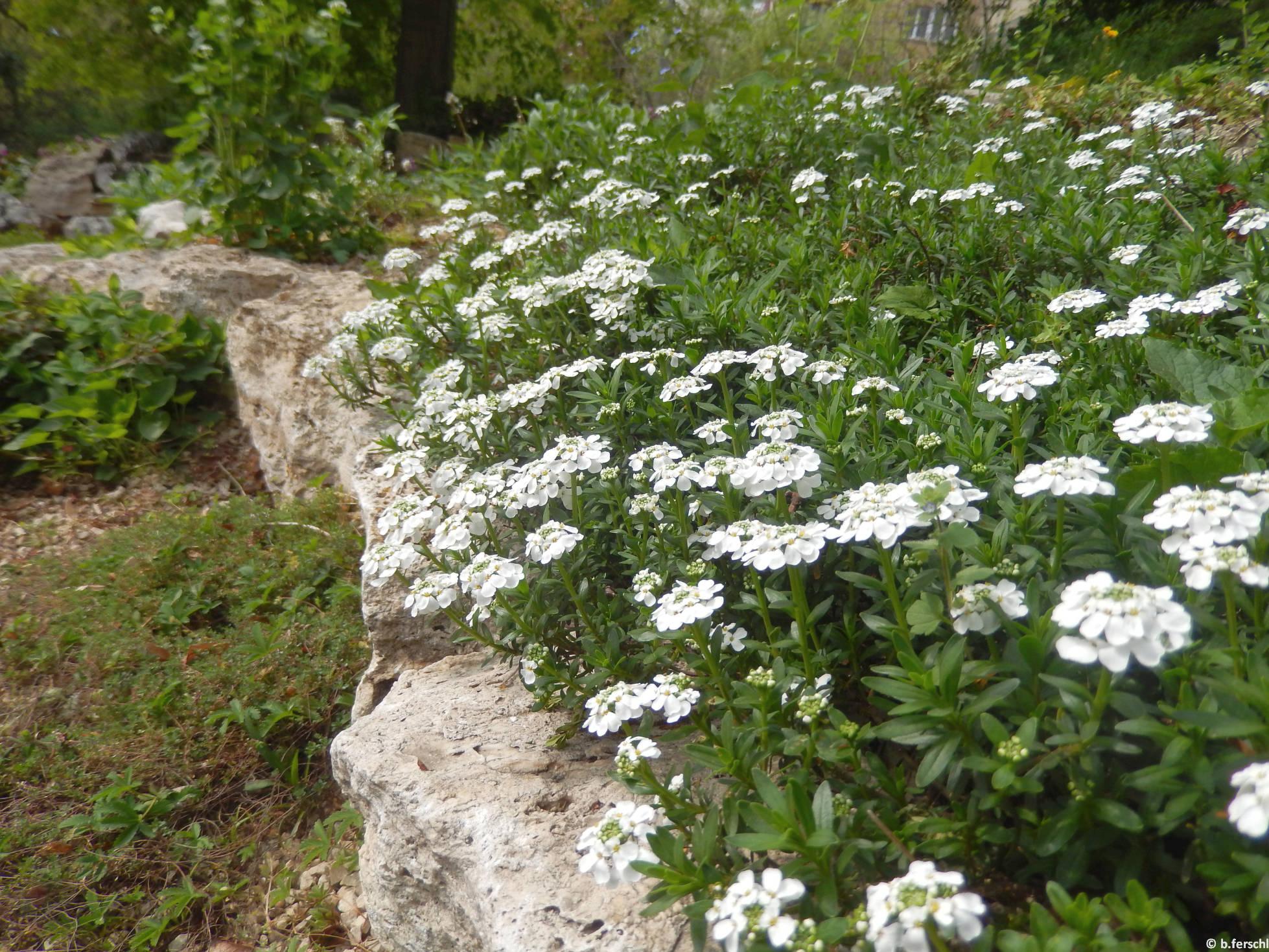 Örökzöld tatárvirág (Iberis sempervirens) a felső sziklakerben