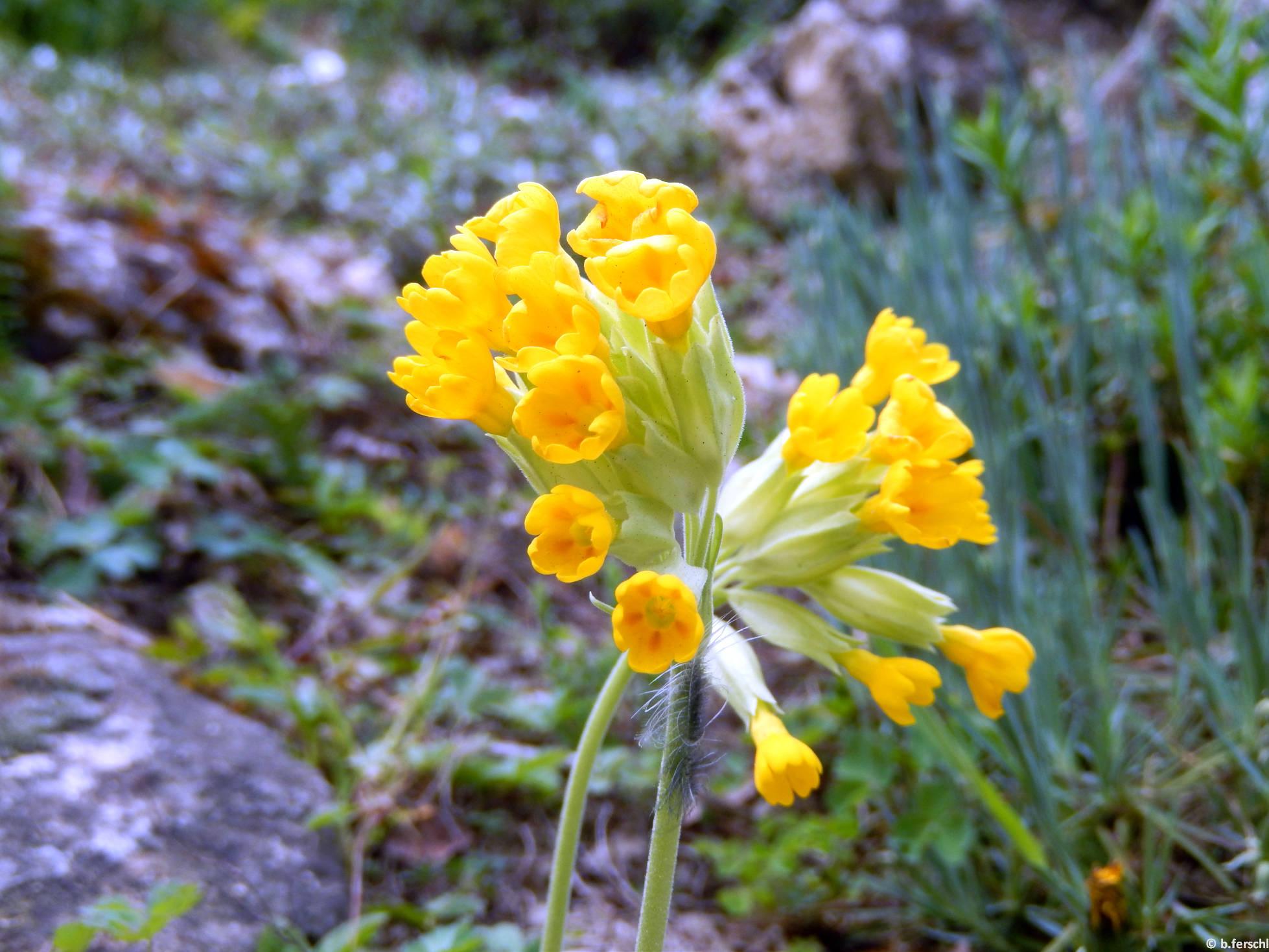 Tavaszi kankalin (Primula veris) a felső sziklakerben