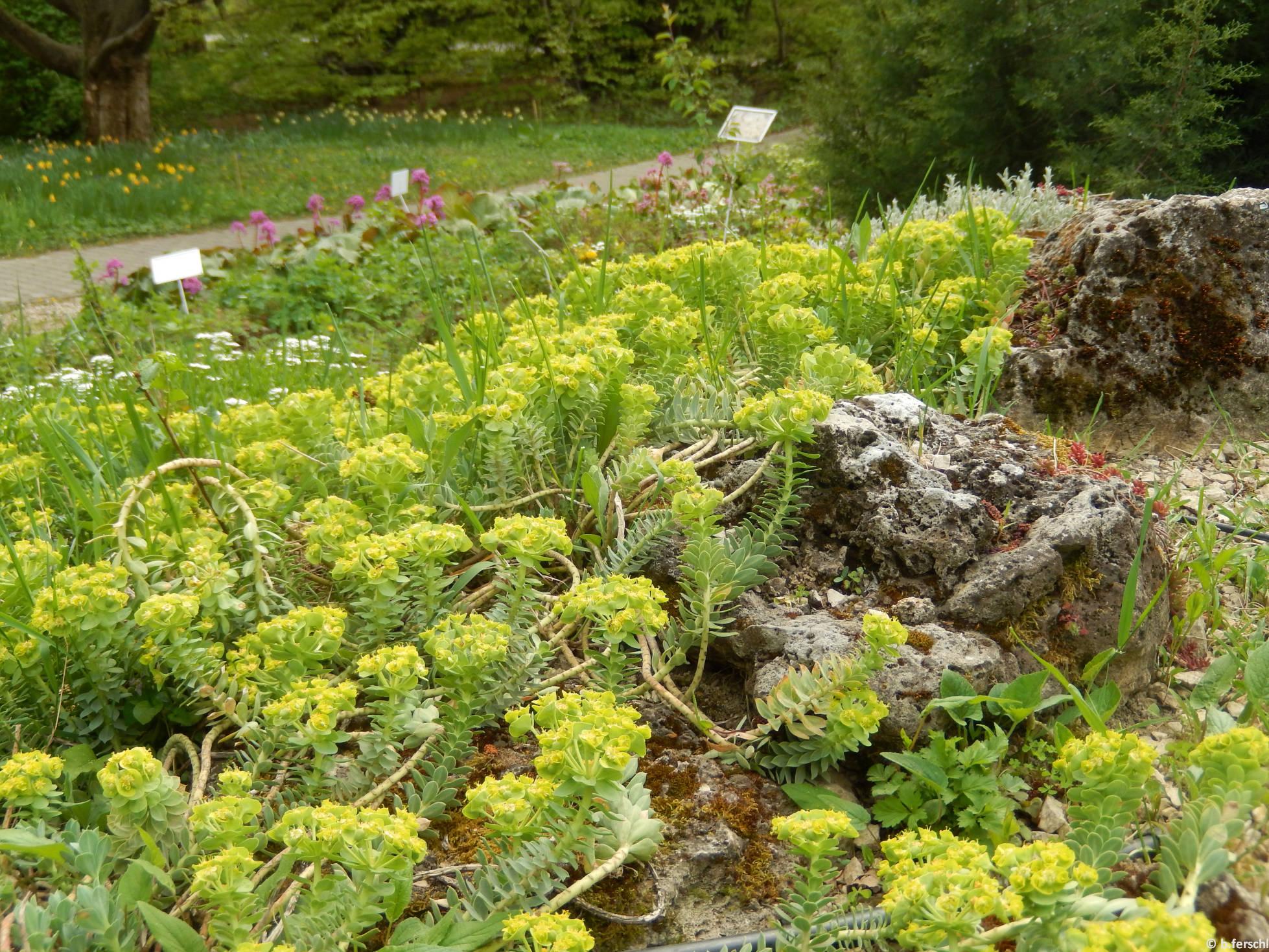 Szürke kutyatej (Euphorbia myrsinites) a felső sziklakerben
