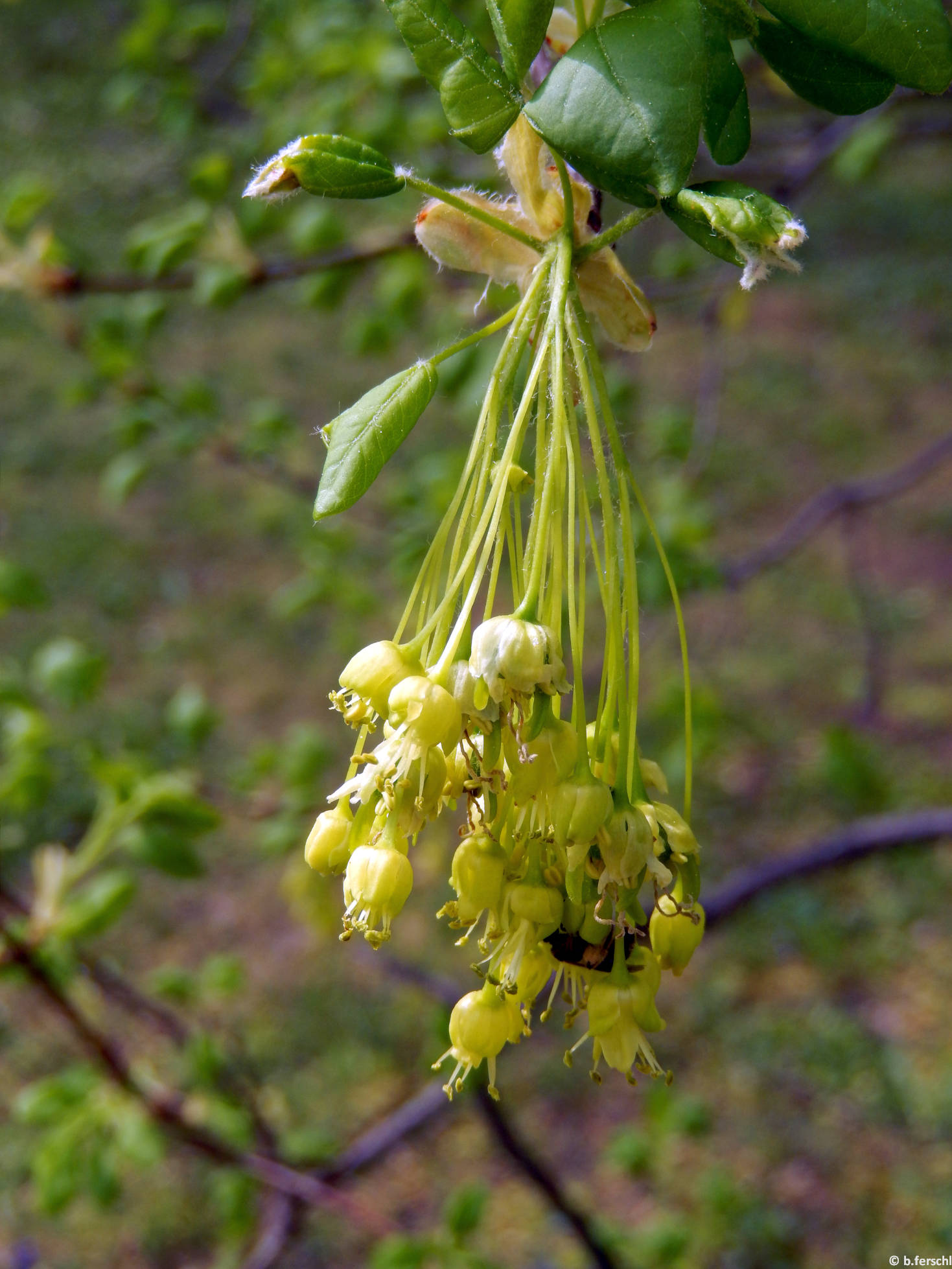 Grúz juhar virágzata (Acer montpensulanum)