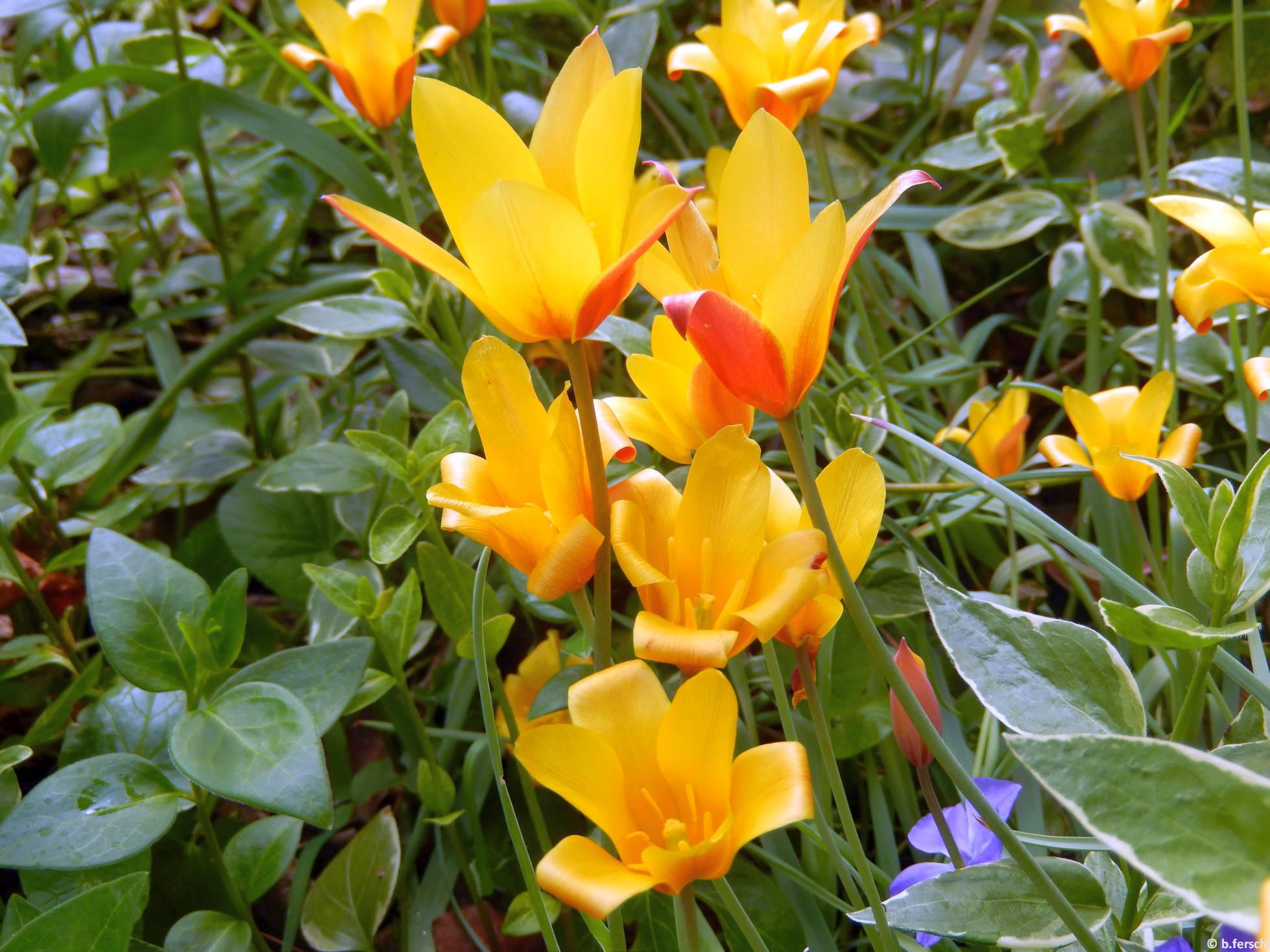 Az erdei tulipán (Tulipa sylvestris) példányai az 'A' épület előtt