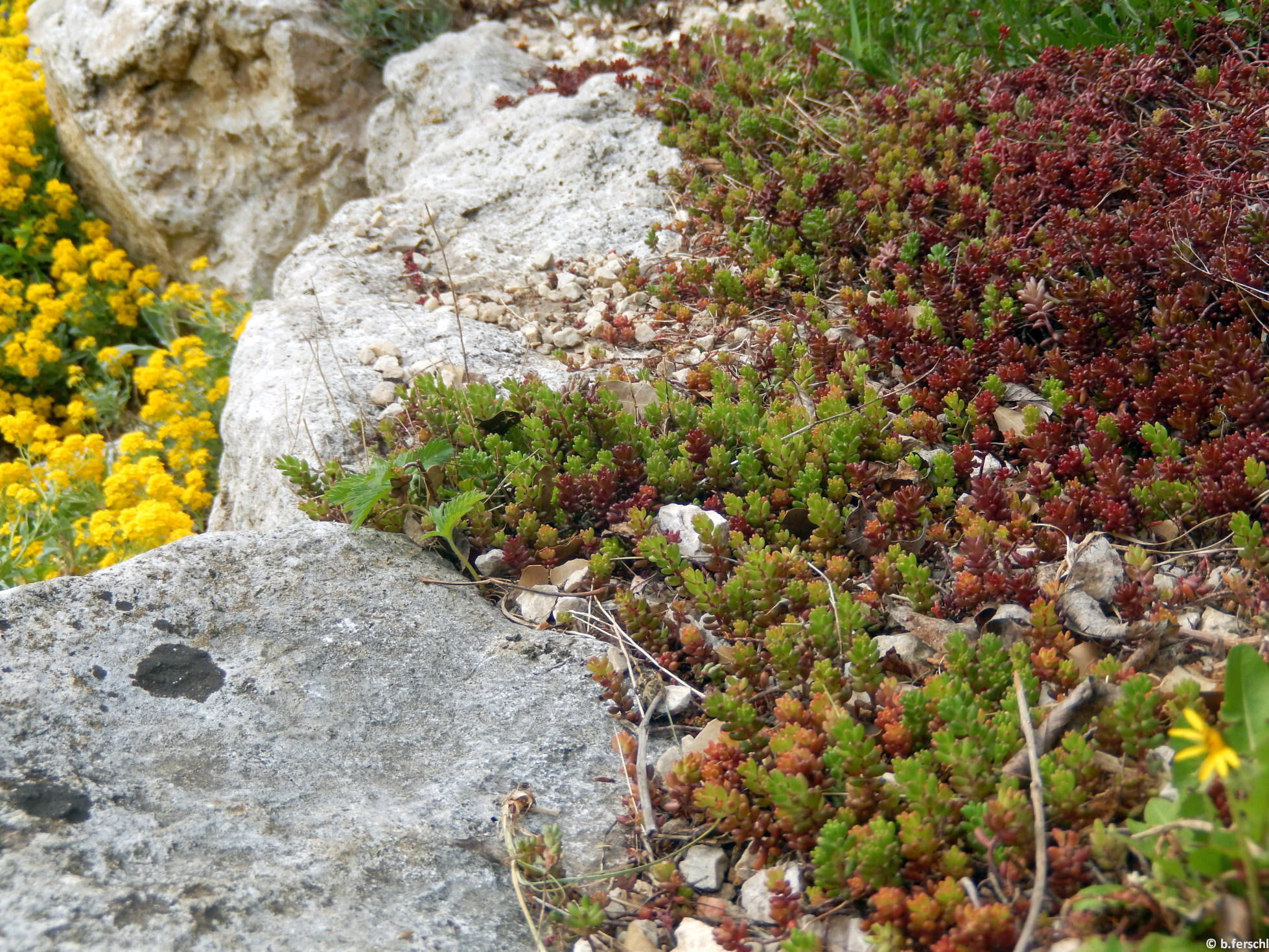 Varjúháj (Sedum sp.) az alsó sziklakertben